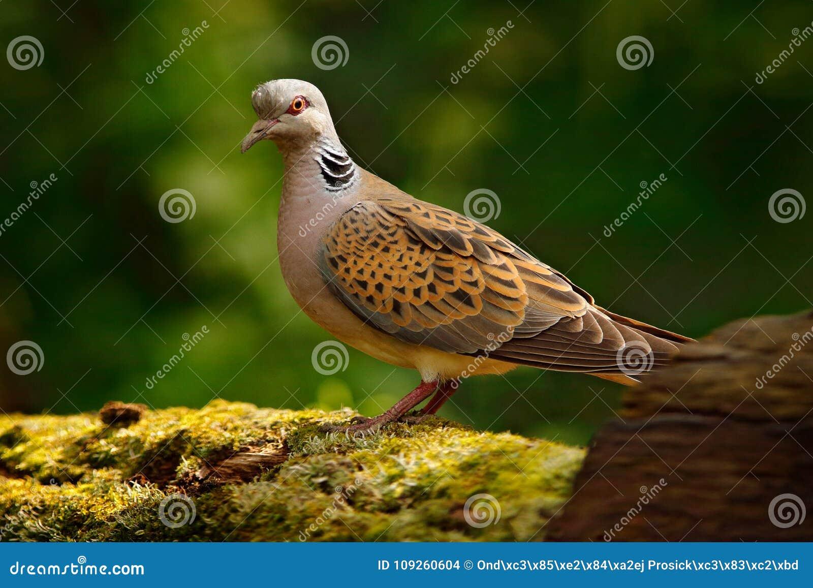 La tortue a plongé, le turtur de Streptopelia, oiseau de forêt de pigeon dans l habitat de nature, fond vert, Allemagne Scène de