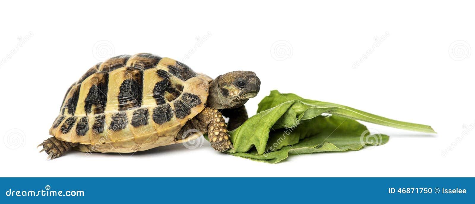La tortuga de Hermann que come la ensalada, aislada