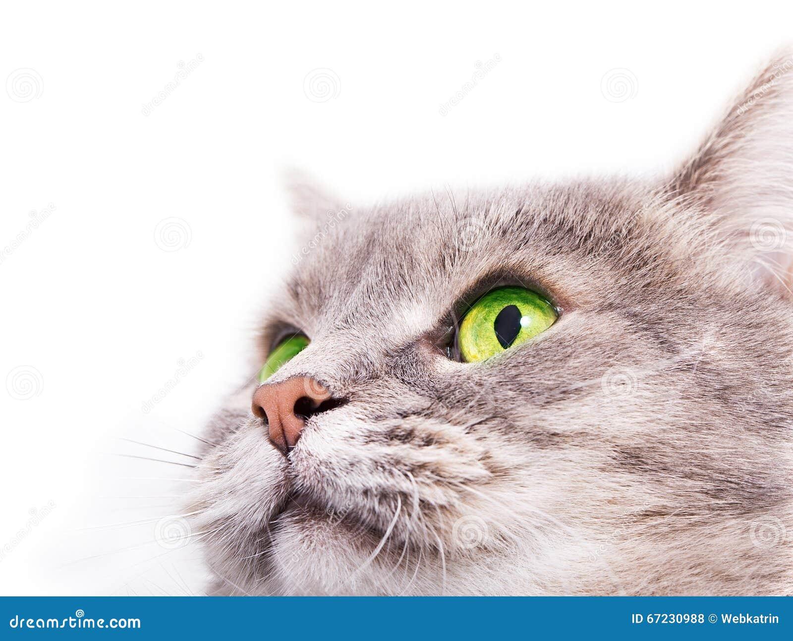 la t te du chat gris avec les yeux verts recherchant photo. Black Bedroom Furniture Sets. Home Design Ideas