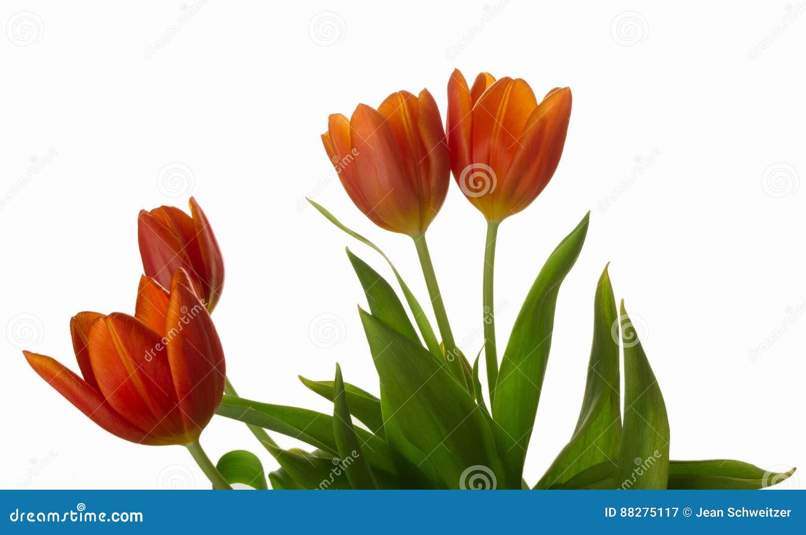 La tulipe orange et rouge fleurit le plan rapproché