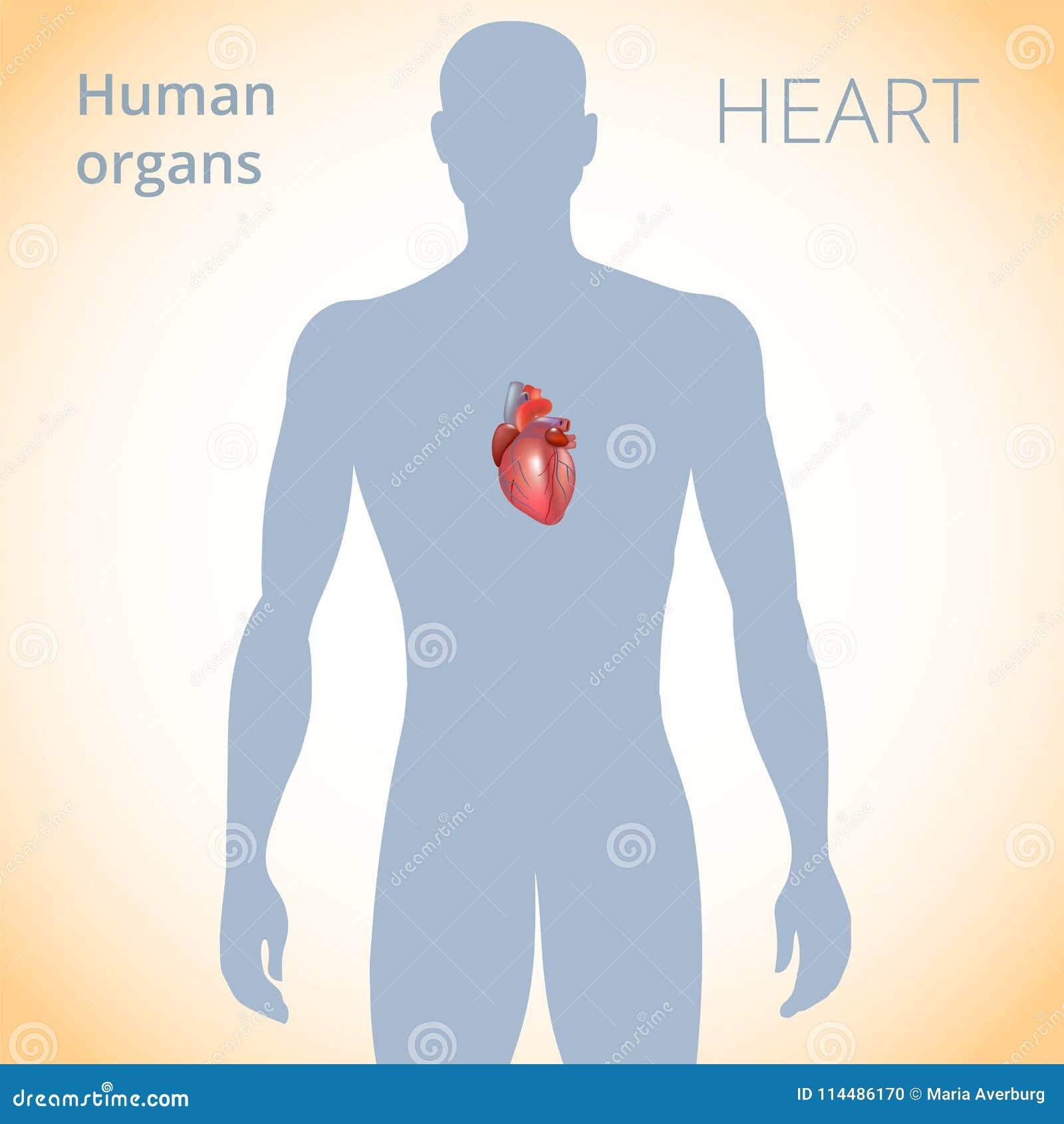 La Ubicación Del Corazón En El Cuerpo, El Sistema Circulatorio ...
