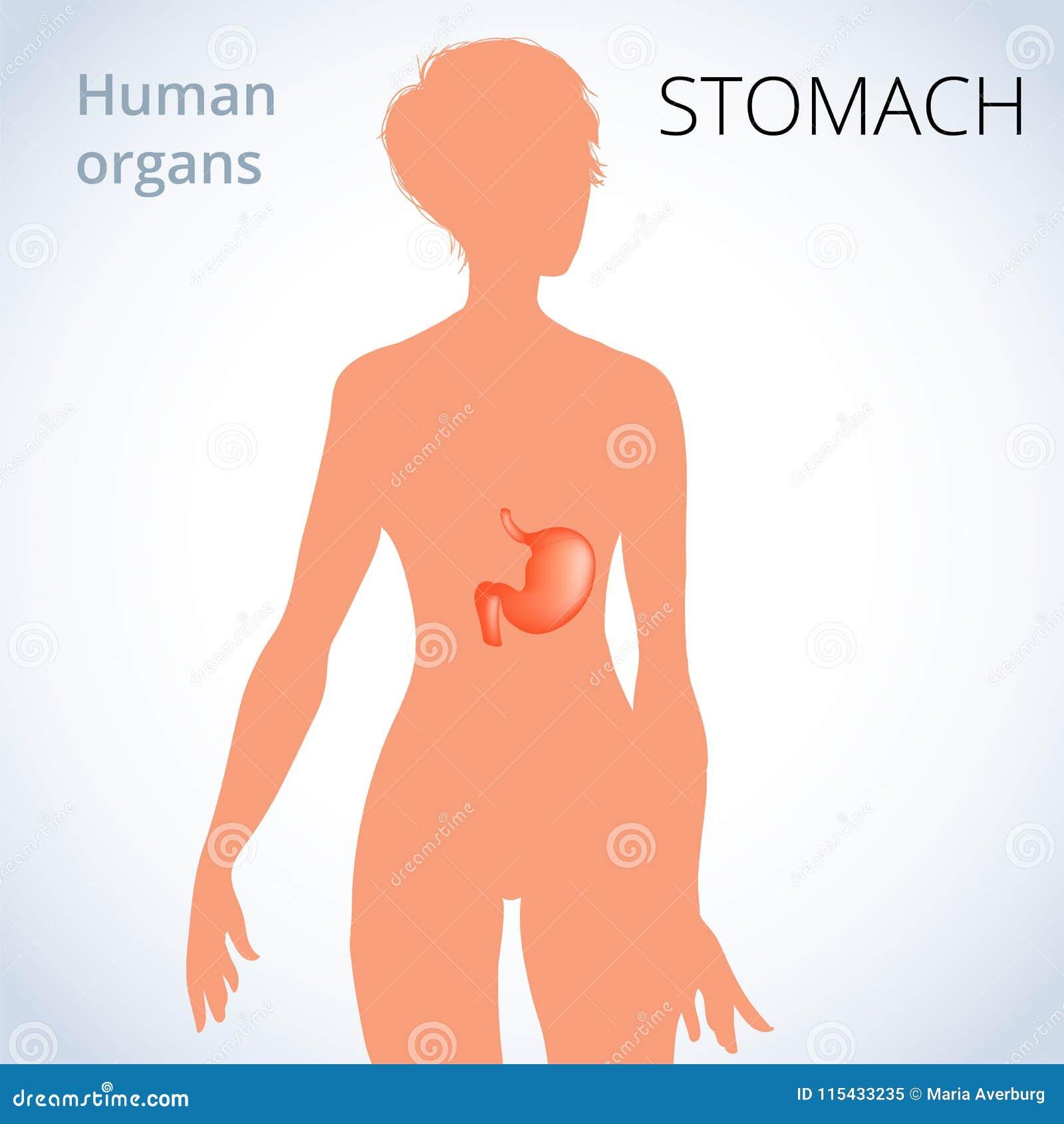 La Ubicación Del Estómago En El Cuerpo Femenino, El Sistema ...