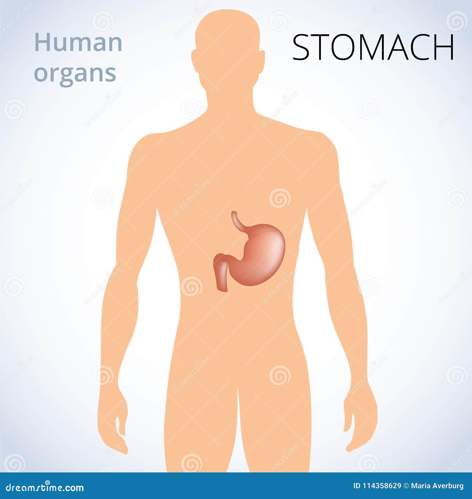 La Ubicación Del Estómago En El Cuerpo, El Sistema Digestivo Humano ...