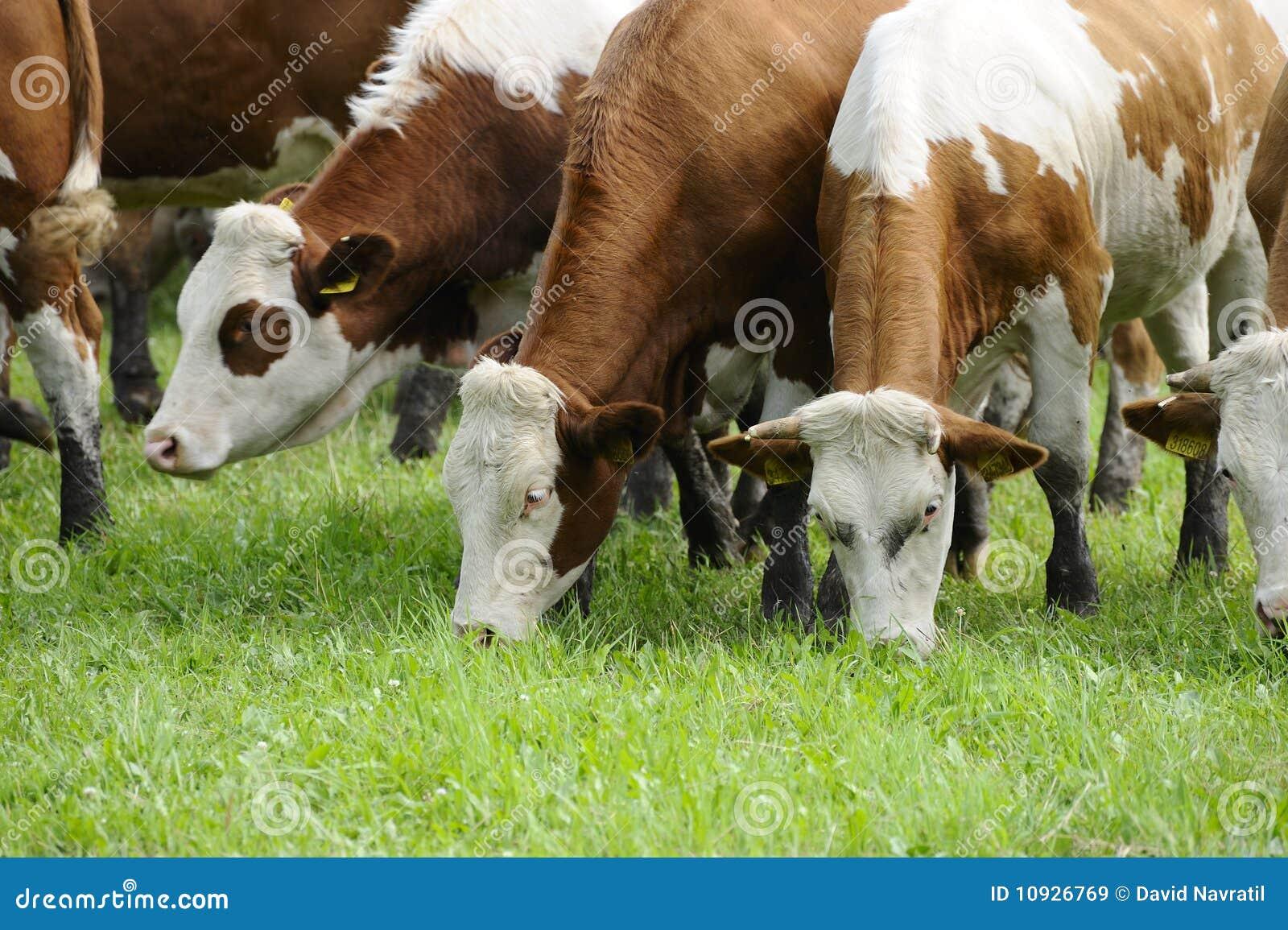 La vaca condujo