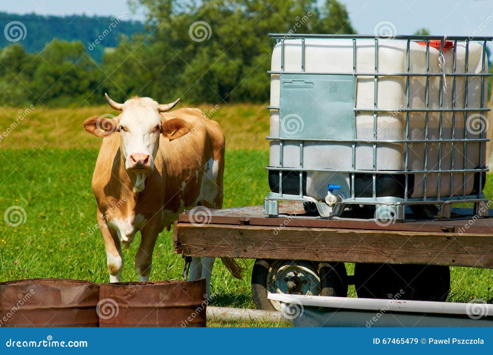 La vaca femenina marrón está haciendo una pausa un lugar del agua en día caliente soleado en un prado