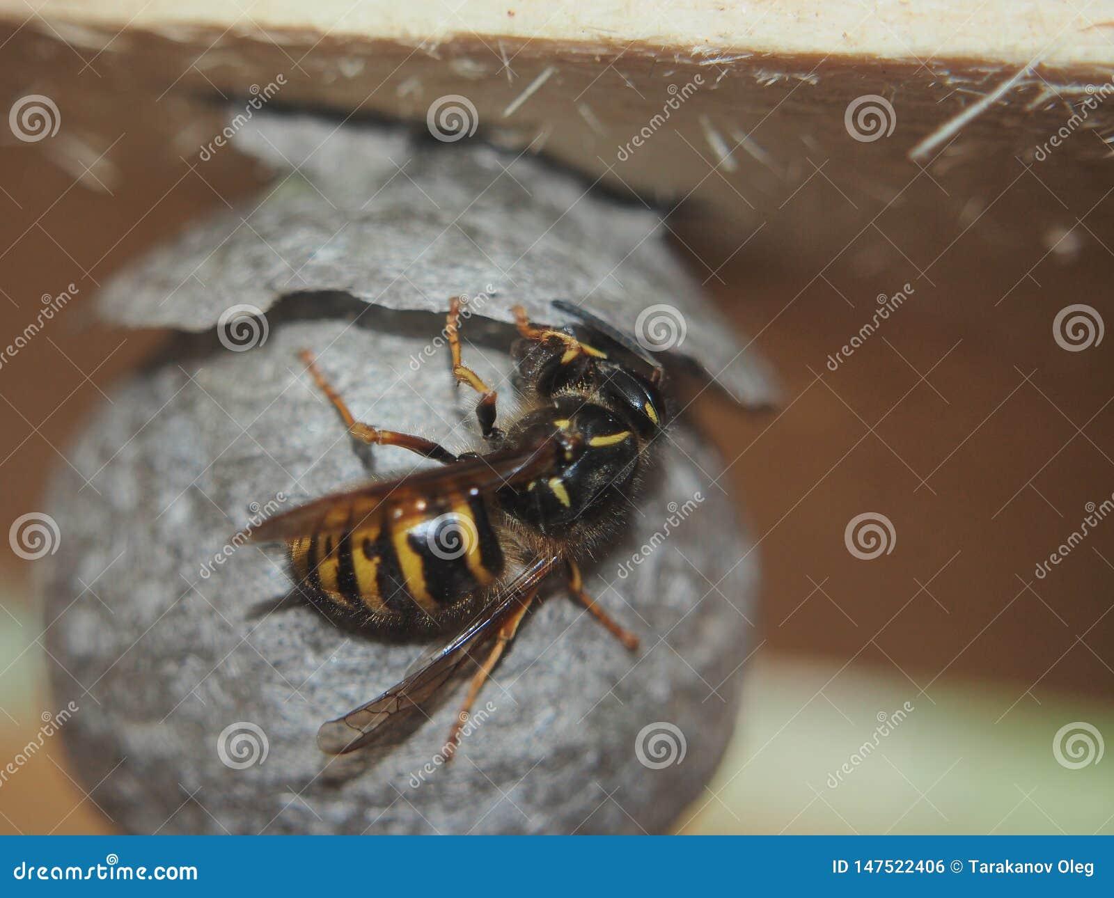 La vespa costruisce un insetto pericoloso del nido sferico