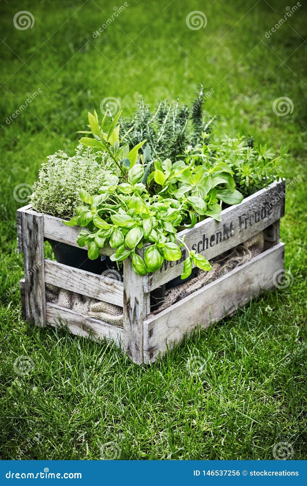 Planter Dans Une Caisse En Bois la vieille caisse en bois de vin a rempli d'herbes fraîches