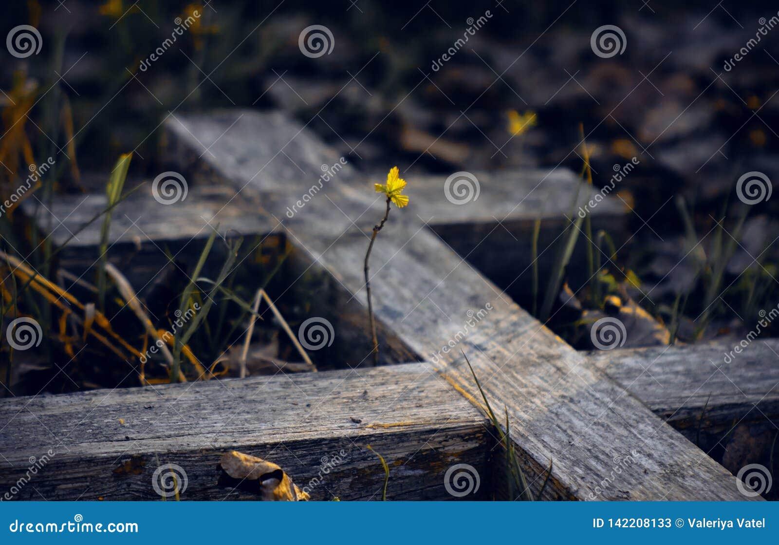 La vieja cruz grave de madera y el brote joven