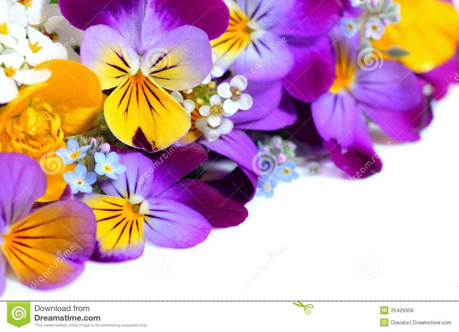 La viola fiorisce il bordo