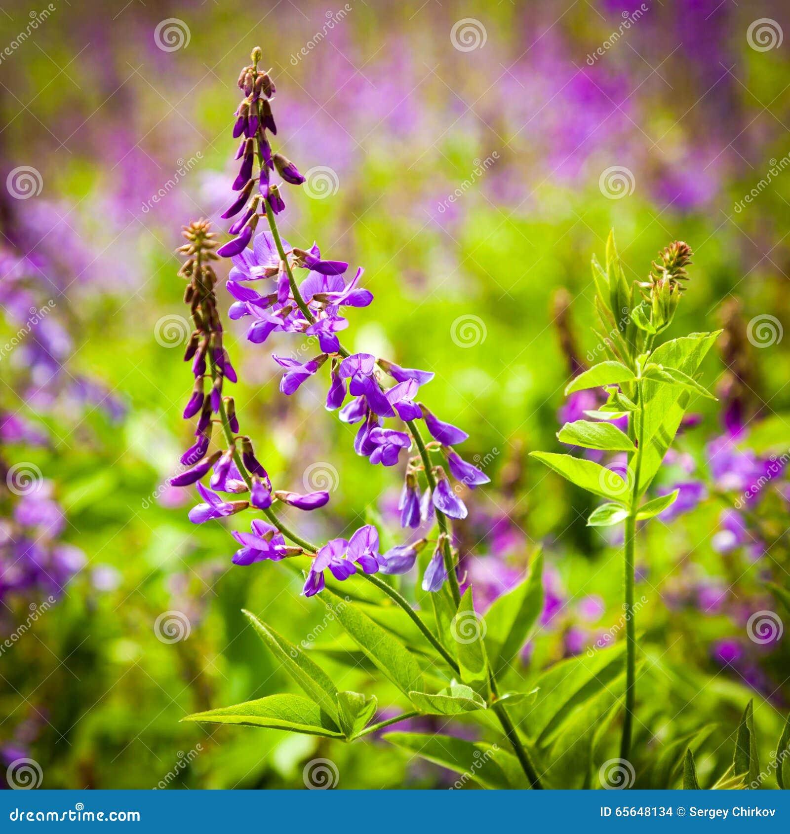 La violette fleurit une vesce d oiseau