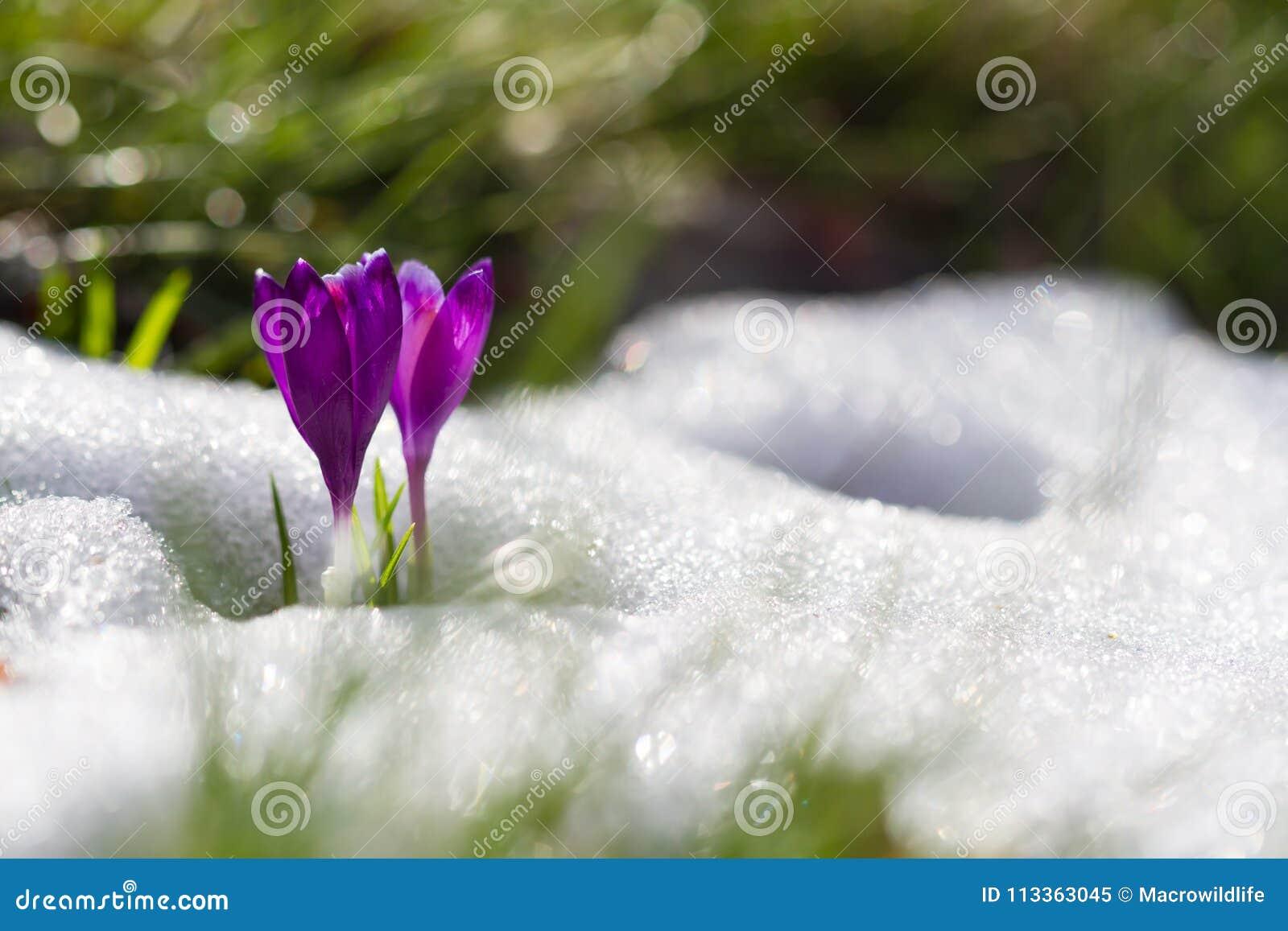 La vista de la primavera floreciente de la magia florece el azafrán que crece de nieve en fauna Luz del sol asombrosa en azafrán