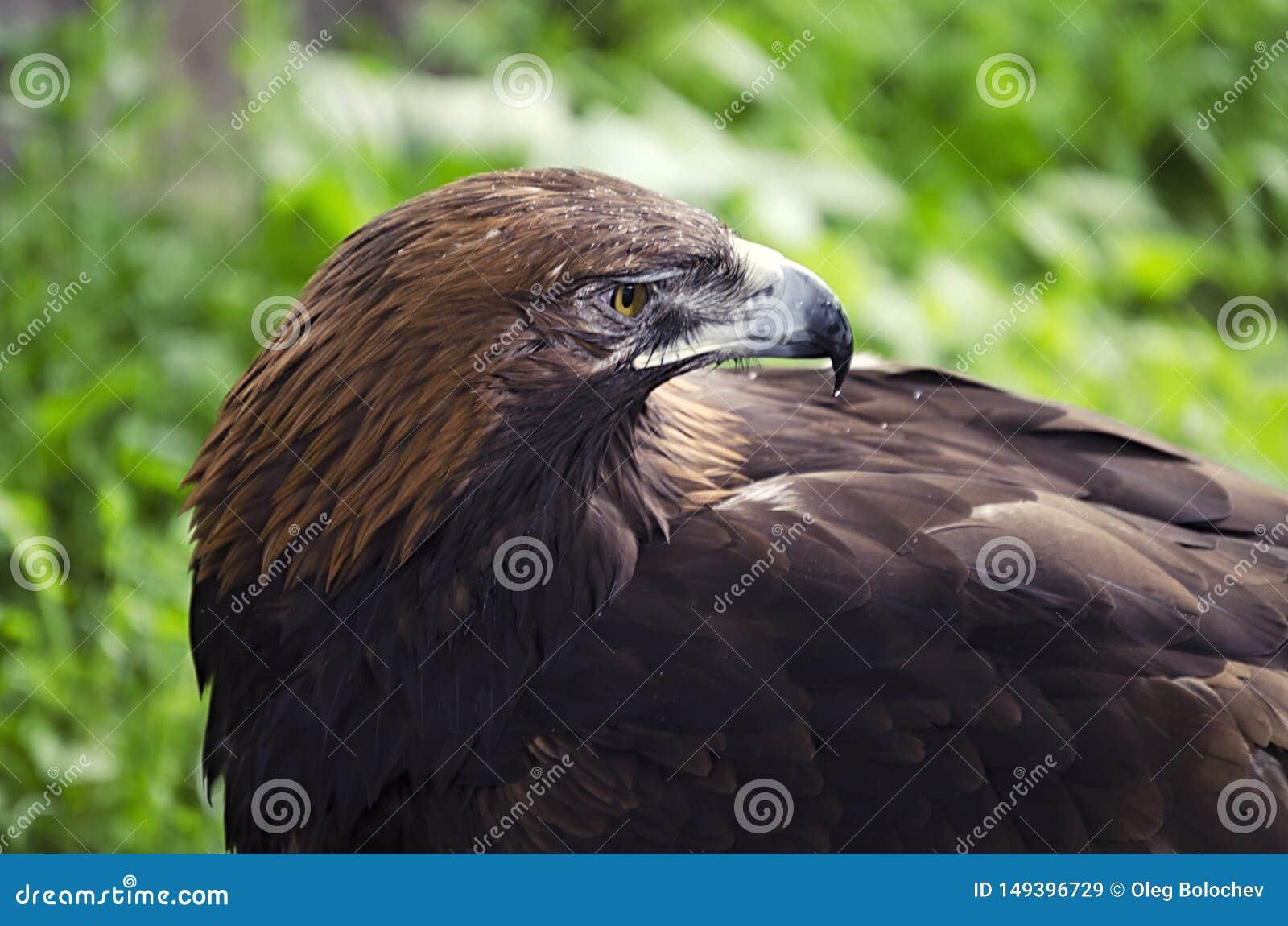 La vista de un águila, un ave rapaz en la tierra, pájaros en el cautiverio, un cierre del águila para arriba