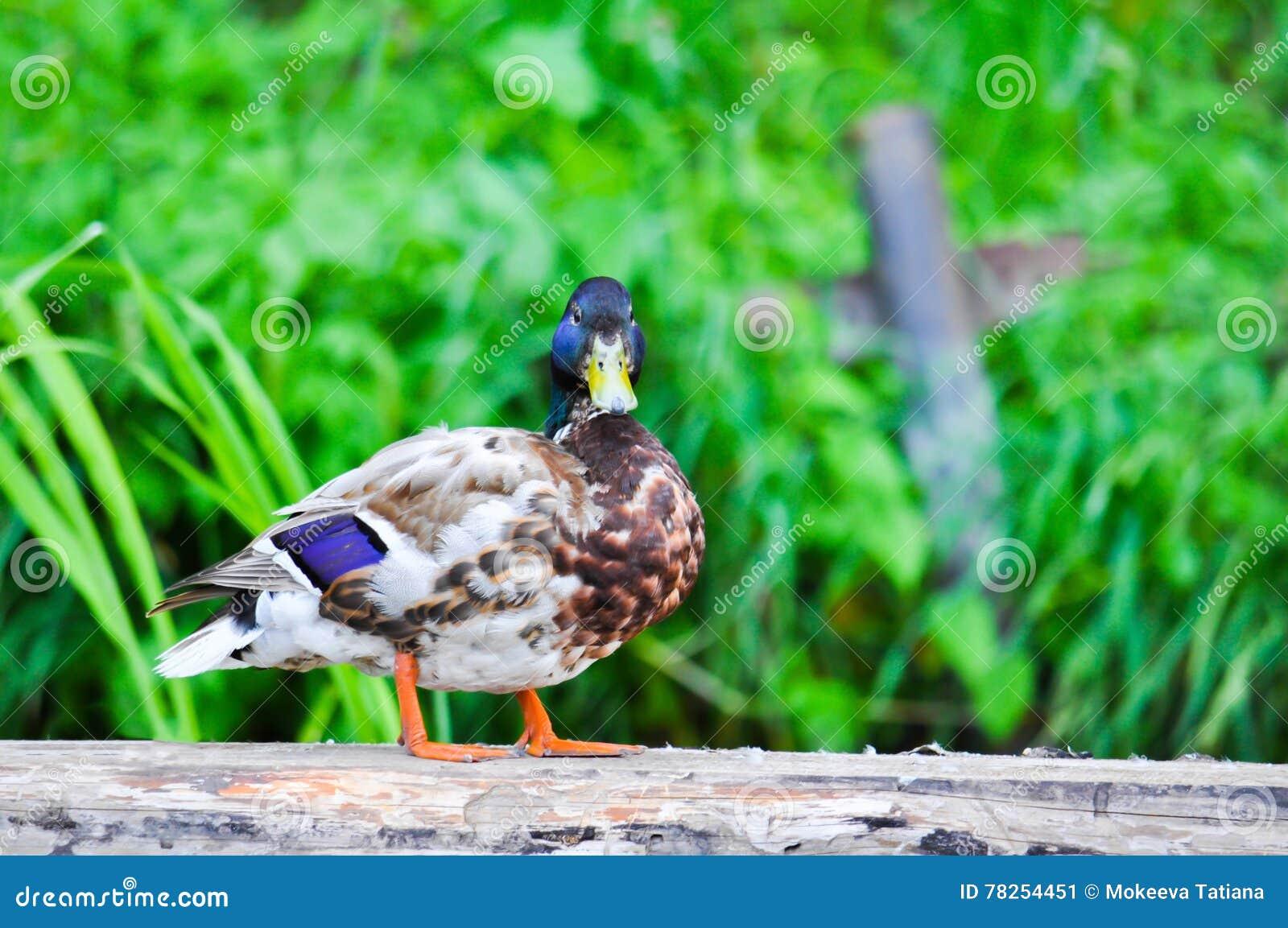 La vista de un pato salvaje