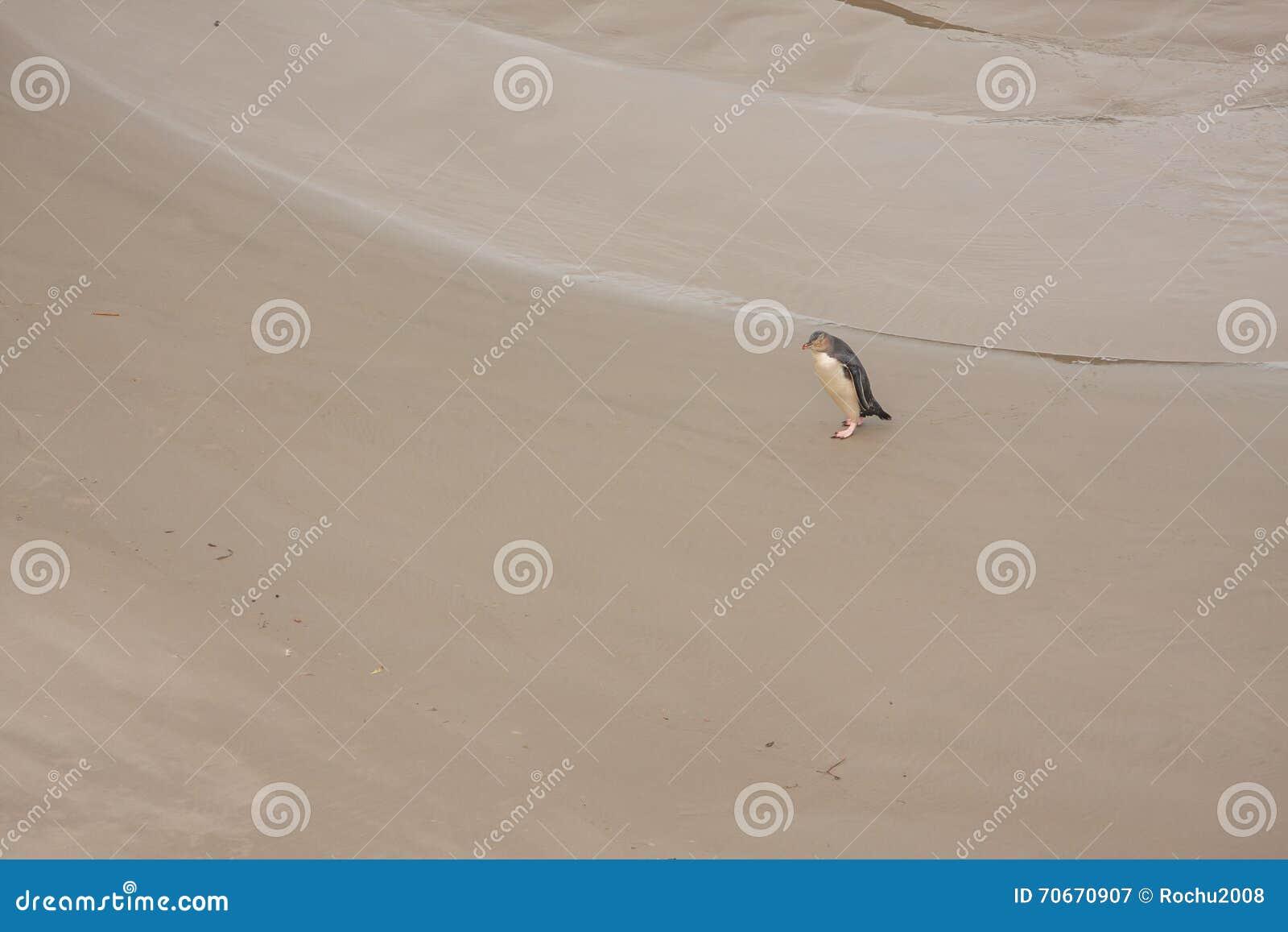 La vista del amarillo observó el pingüino en la playa de Nueva Zelanda