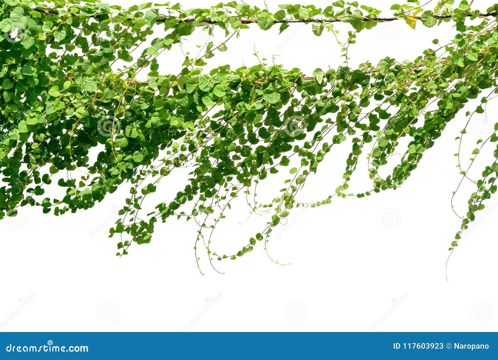 La vite, edera lascia la pianta sui pali isolati sul backgrou bianco