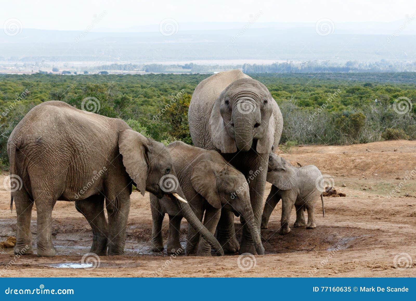 La vraie famille d éléphant de Bush d Africain