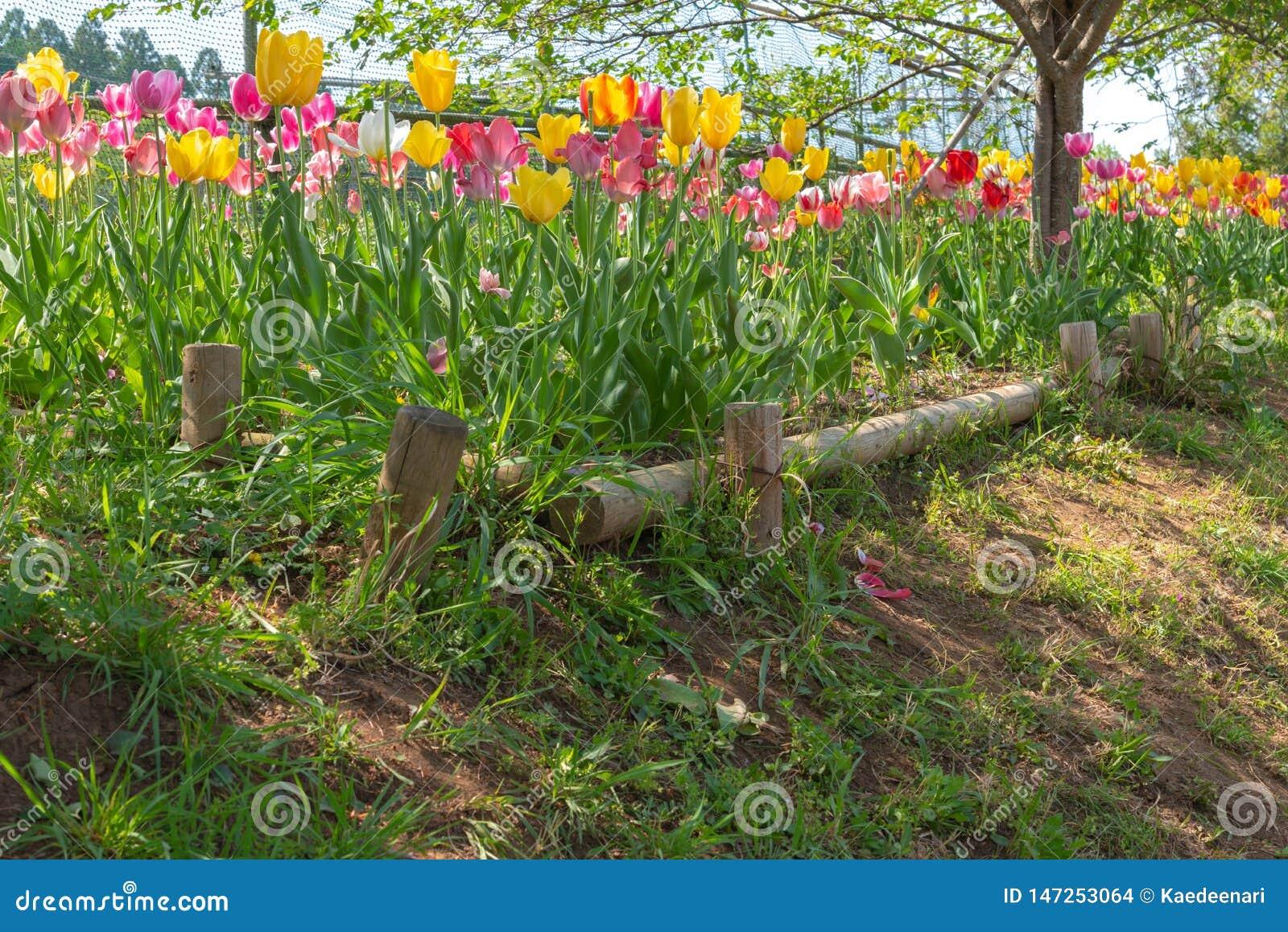 La vue de belles tulipes mettent en place multicolore dans le jardin