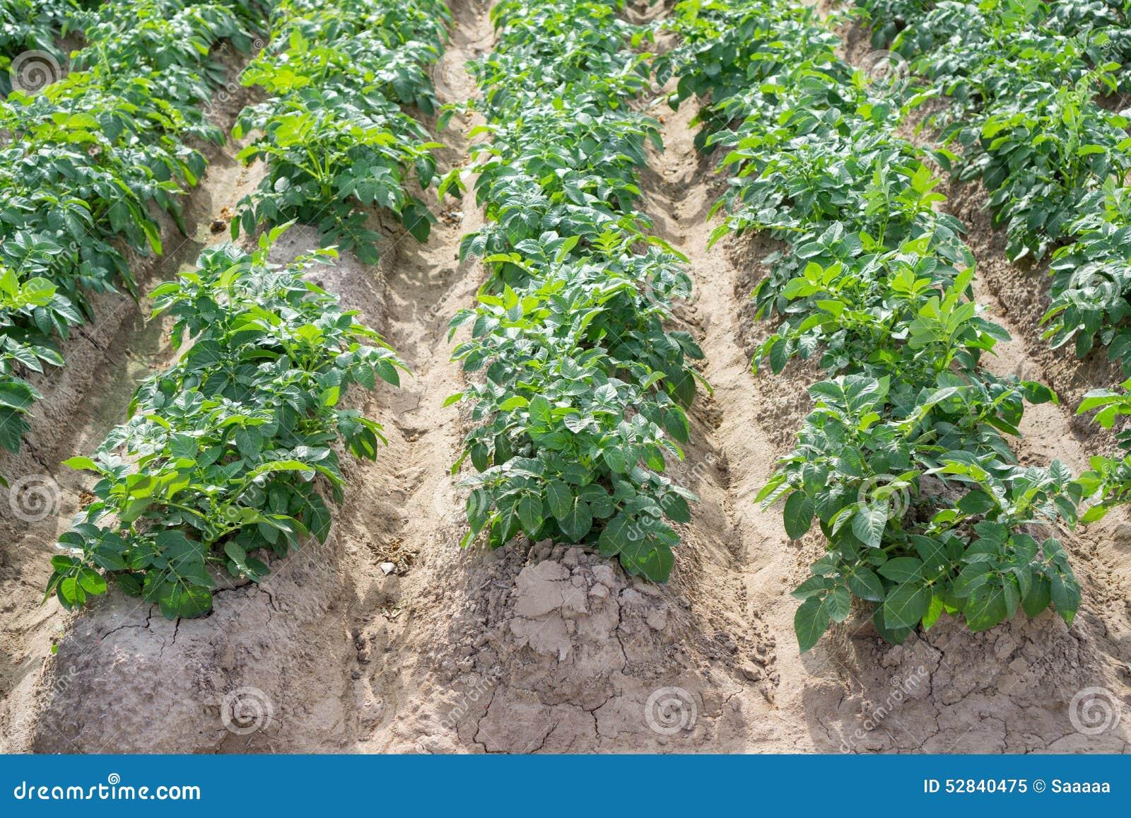Que planter a cote des pommes de terre - Planter des pommes de terre ...