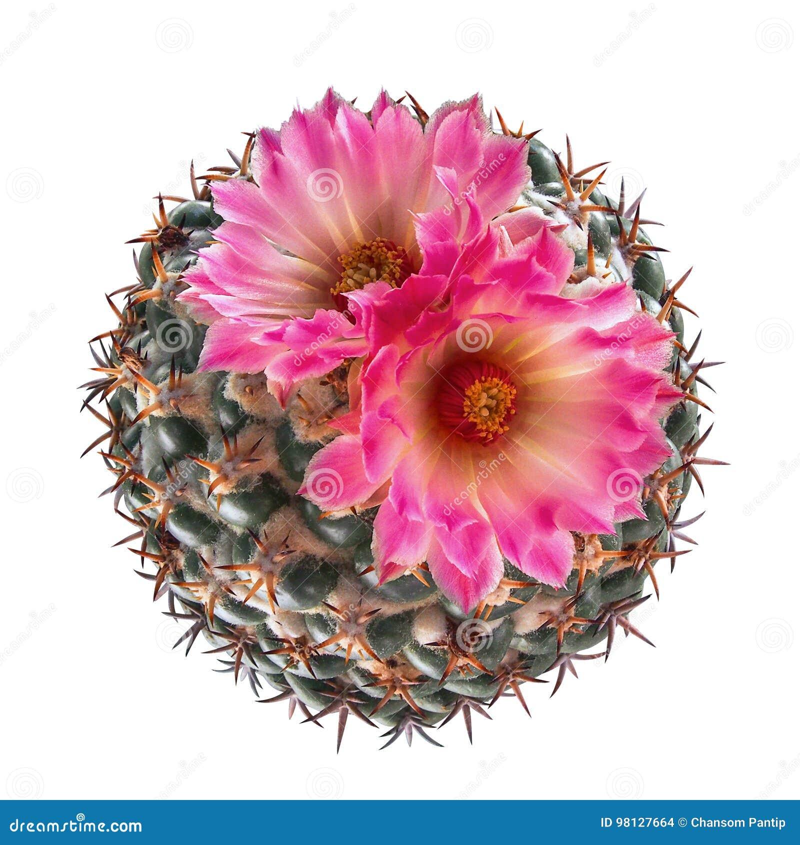 La vue supérieure des espèces roses de floraison de Coryphantha de cactus de fleur est