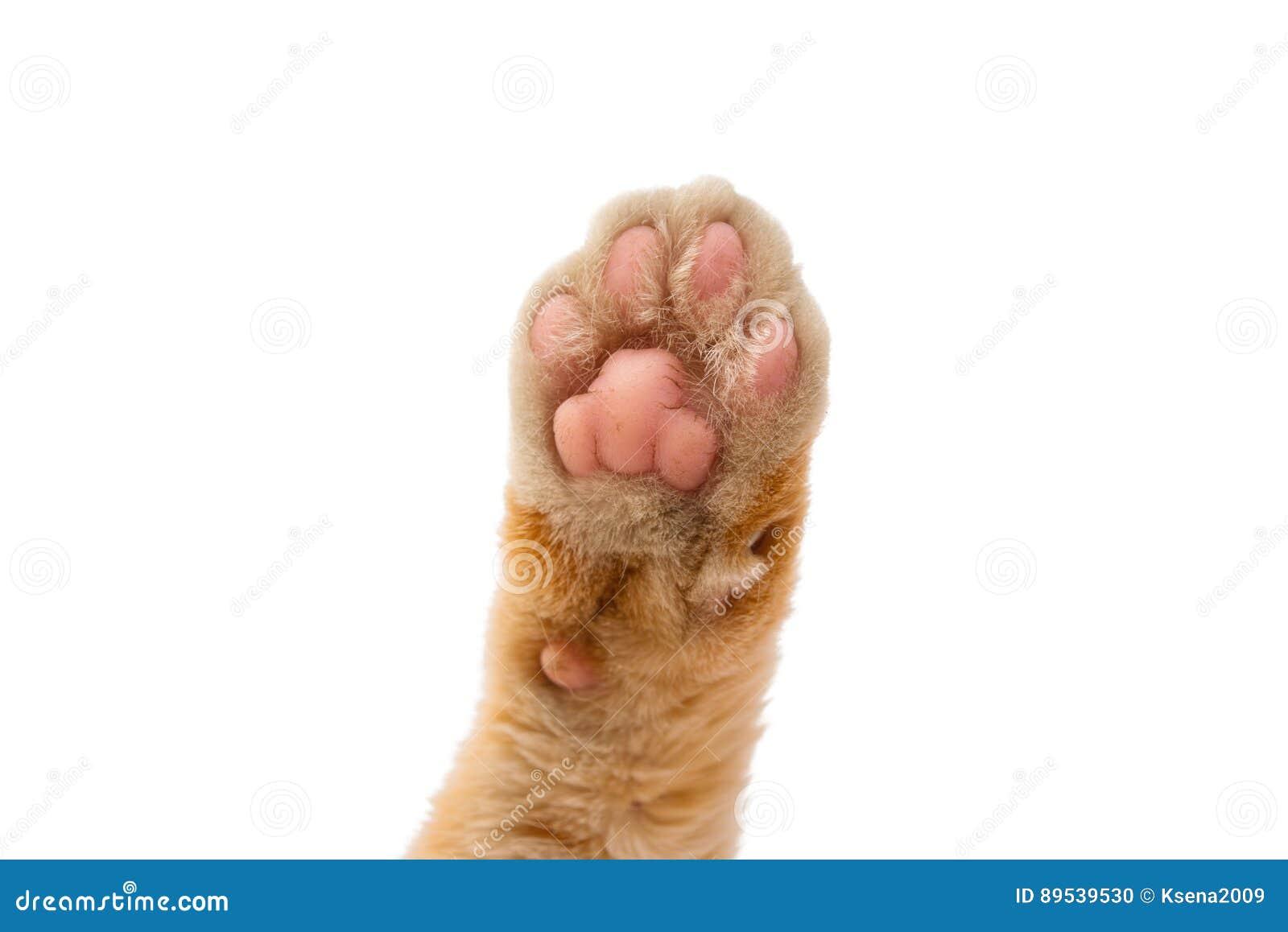 La zampa del gatto isolata fotografia stock immagine di - Immagine del gatto a colori ...
