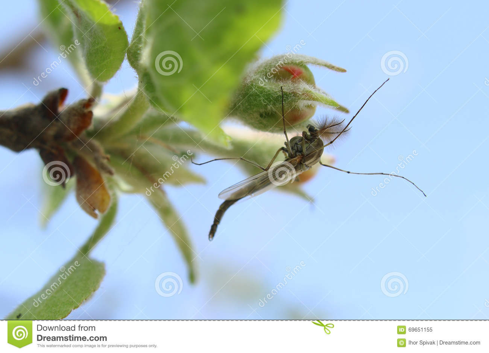 La zanzara si siede su un fiore