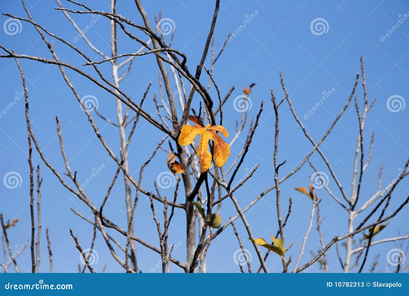 Laatste oranje blad op de vijgeboom in de herfst