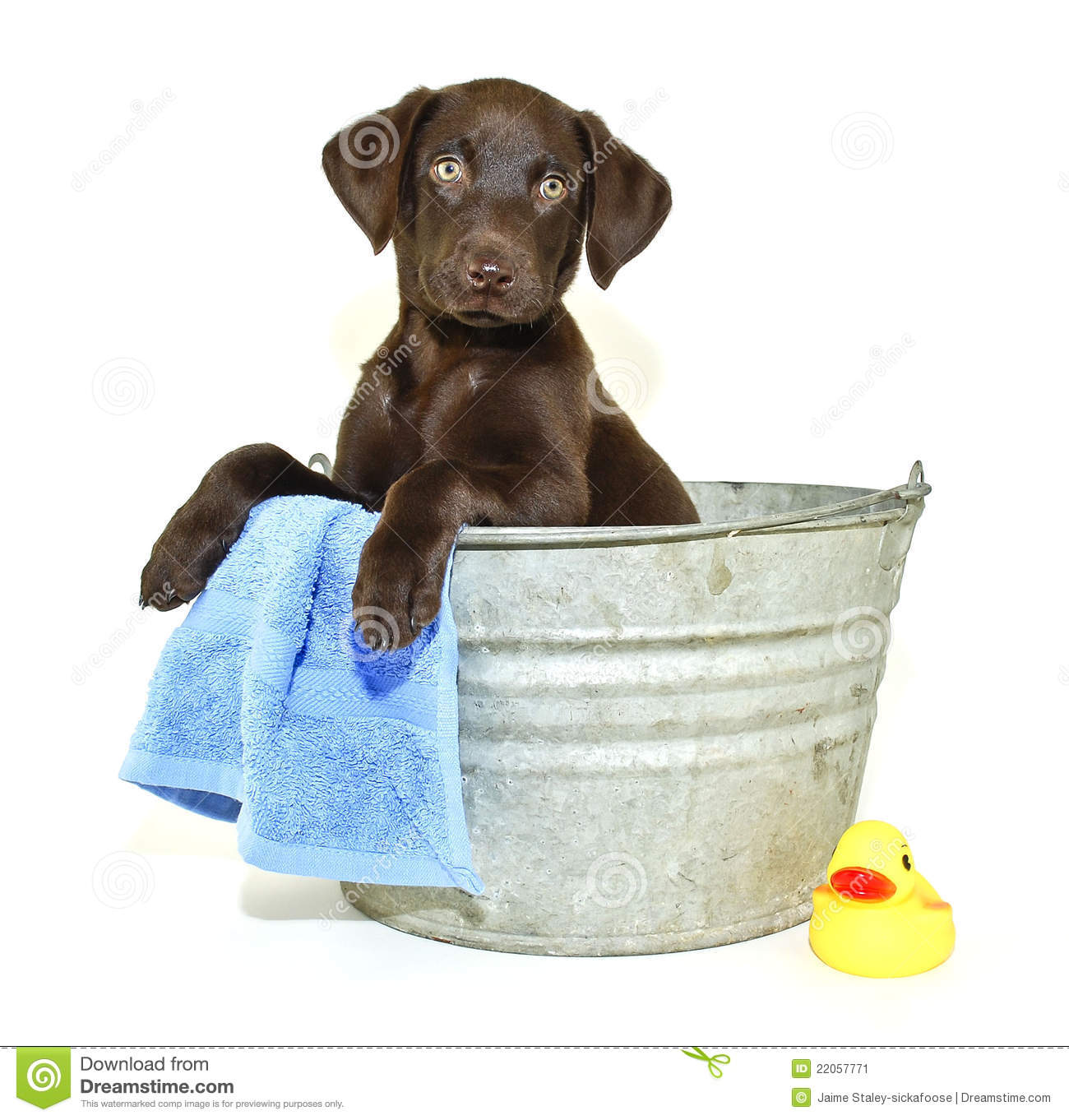 Lab Puppy Getting A Bath Stock Image Image Of Cute