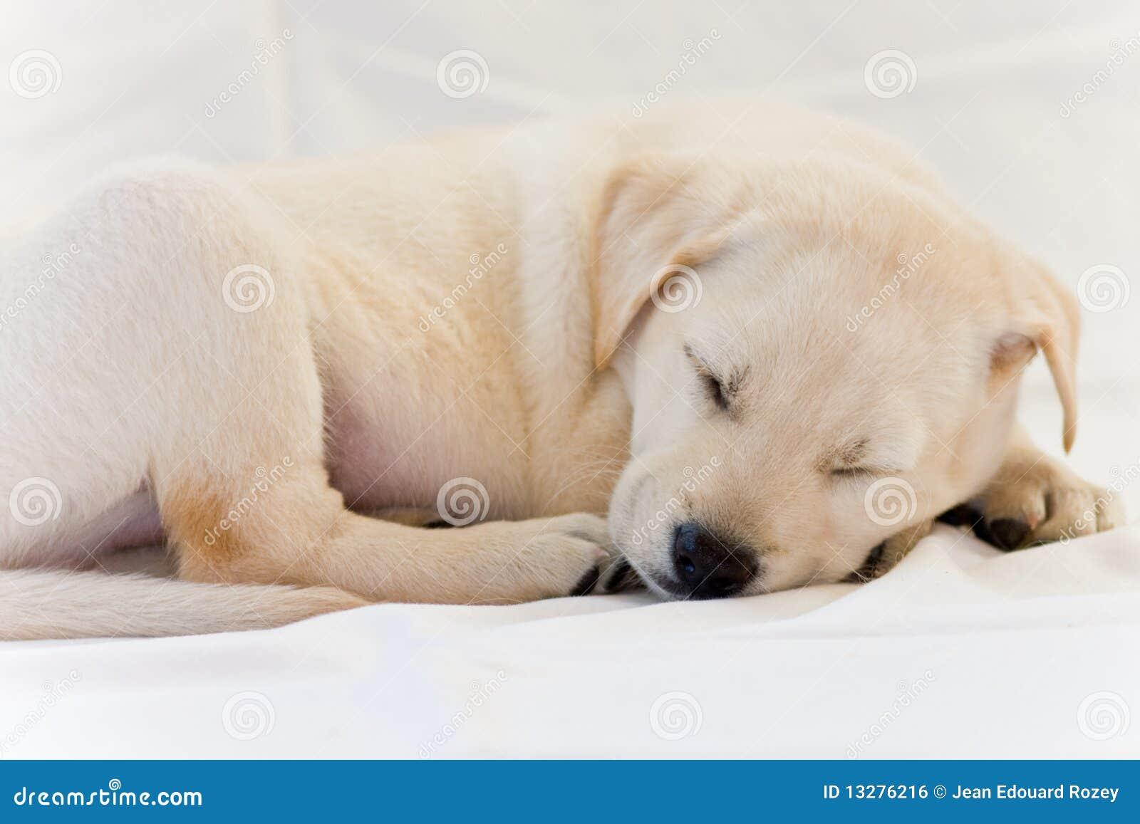 yellow lab puppy sleeping - photo #38