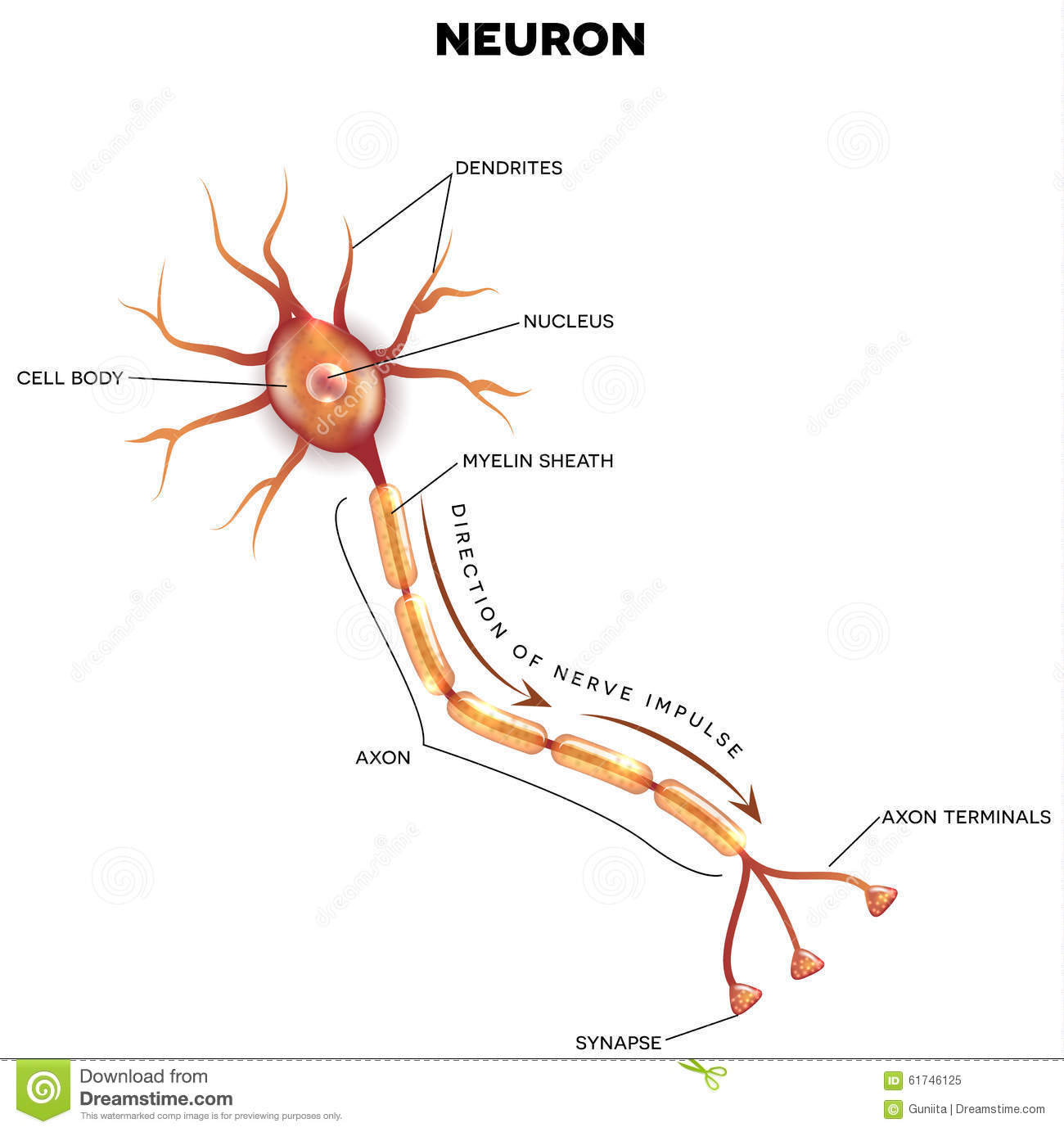 Labeled diagram of the neuron stock vector illustration 61746125 labeled diagram of the neuron ccuart Image collections