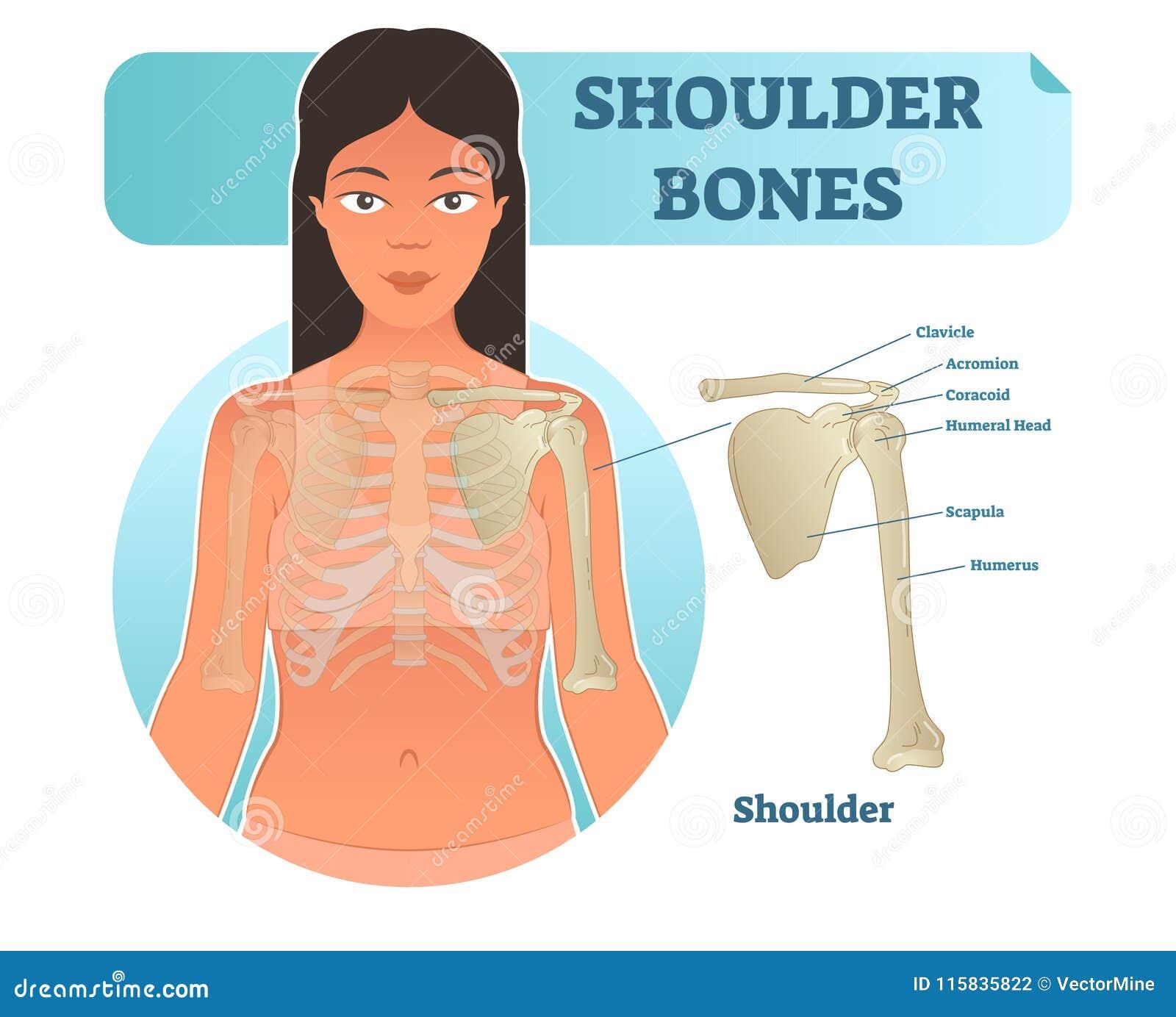 Labeled Human Shoulder Bone Anatomical Vector Illustration Diagram ...