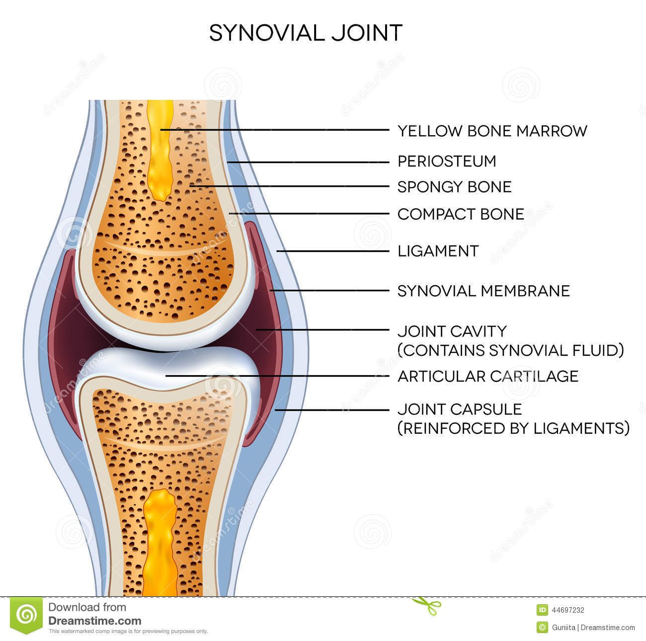 Knee joint labeled diagram stock vector illustration of health labeled joint anatomy stock photography ccuart Choice Image