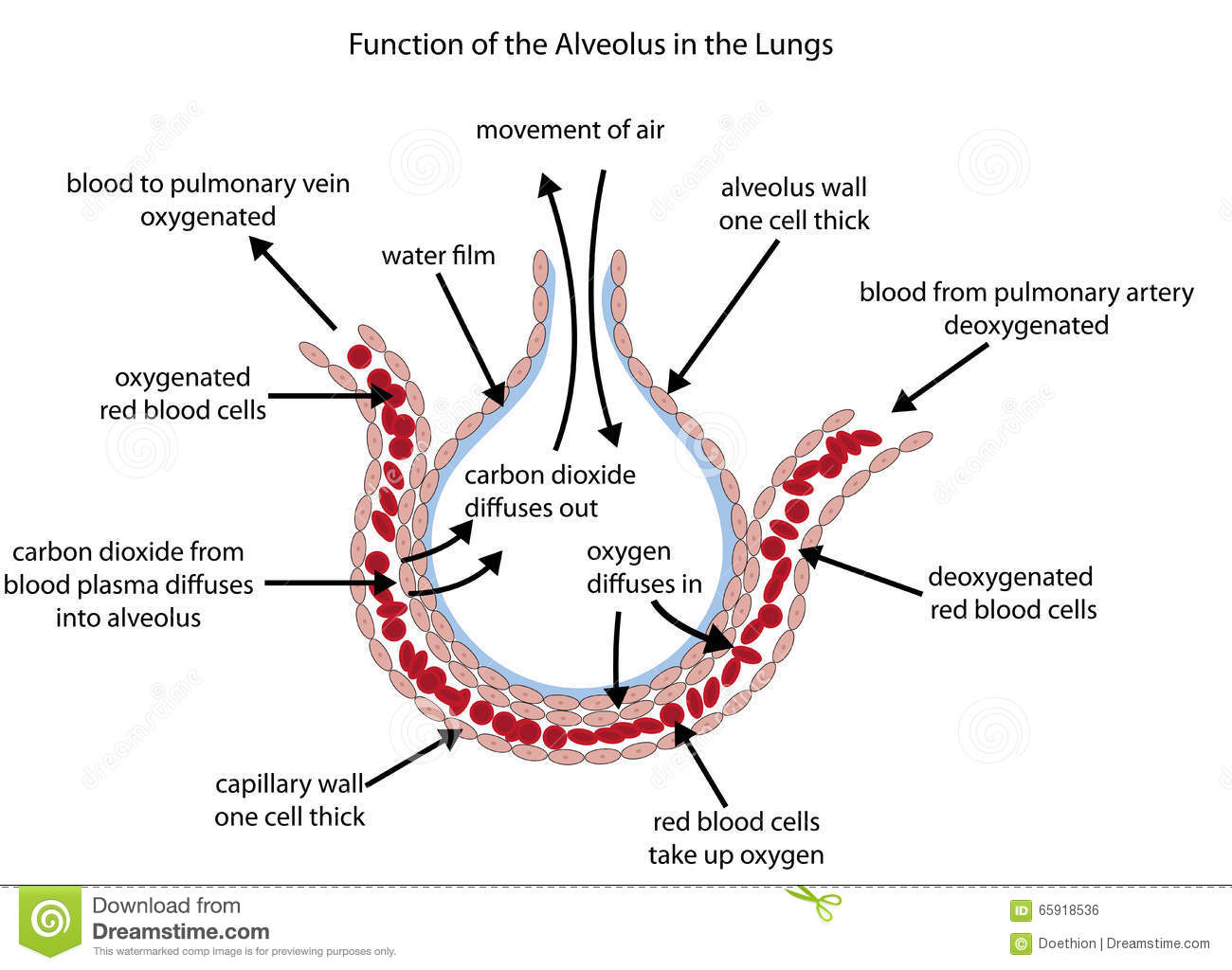 fully labelled diagram of the alveolus in the lungs showing gaseous  exchange