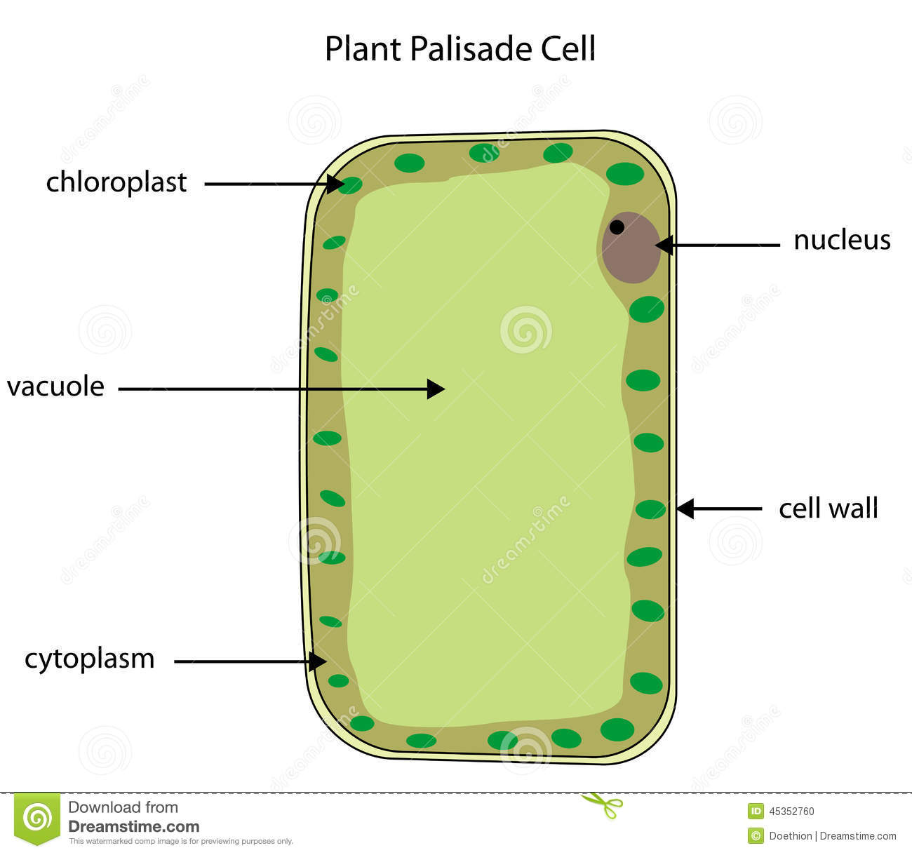 labelled diagram of plant palisade cell stock vector - illustration