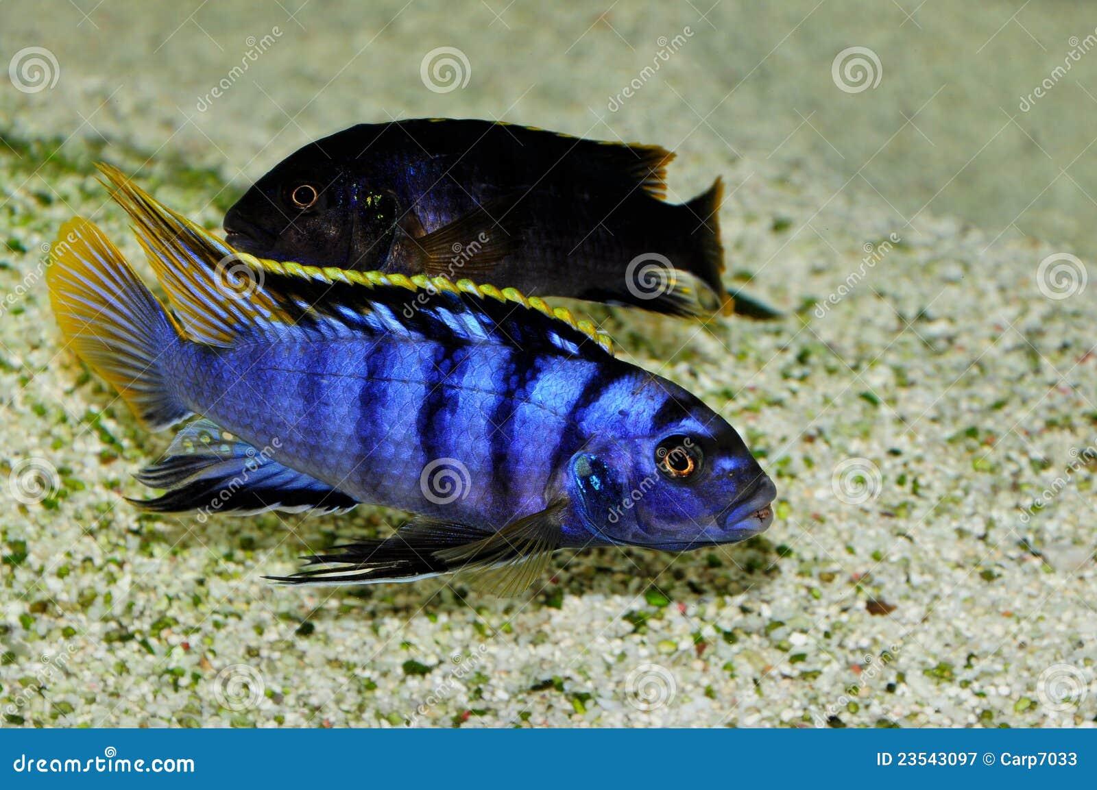 Labidochromis Sp Mbamba Stock Image Image Of Eyes Fish