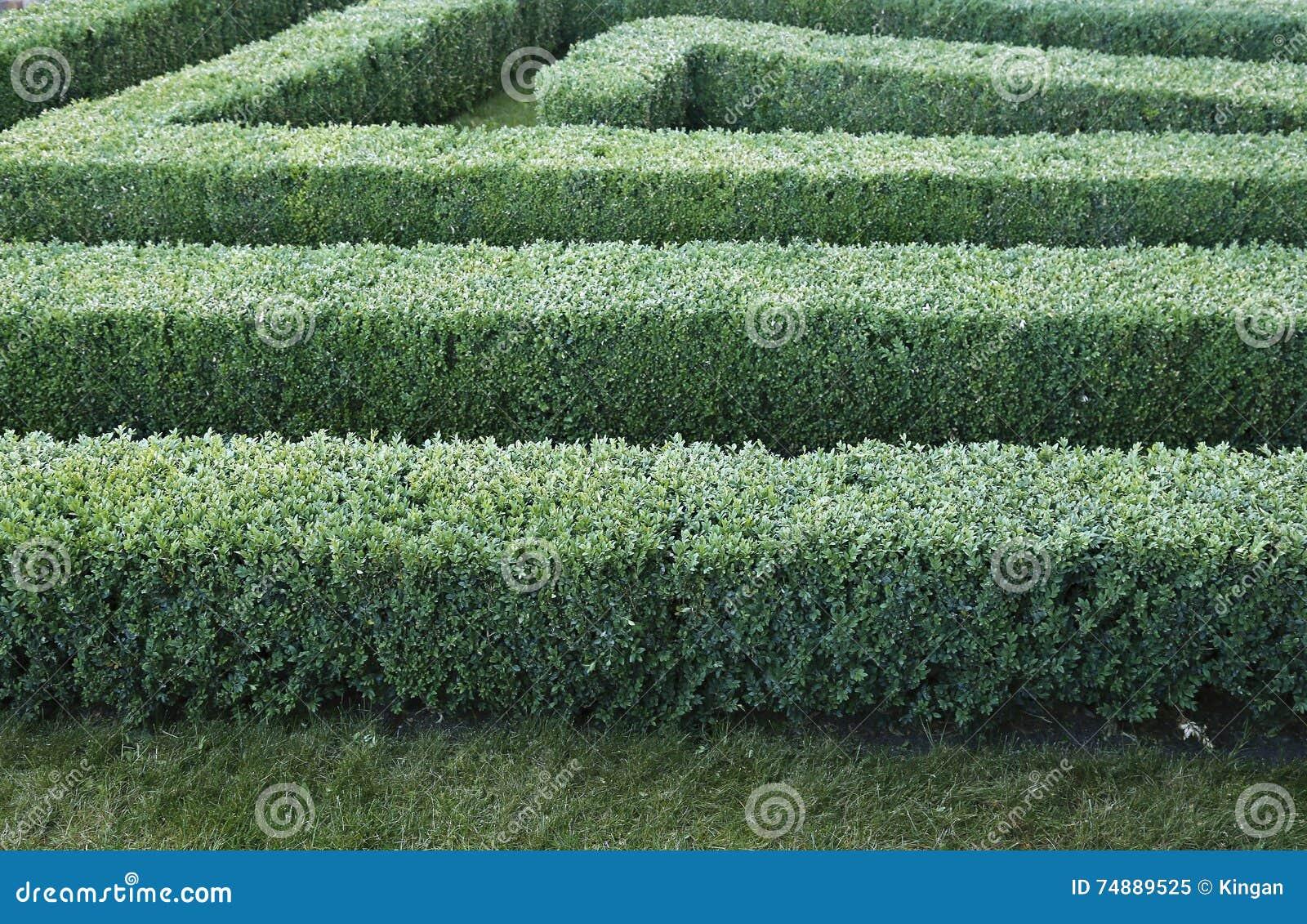 Labirinto verde de arbustos aparados do buxo