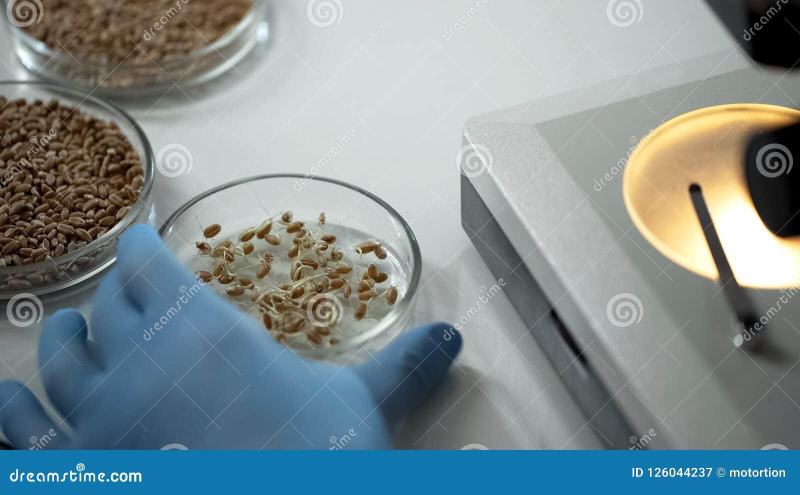 Laboratorium deskundige het fokken gewijzigde verscheidenheden van gewassen, het organische korrel groeien