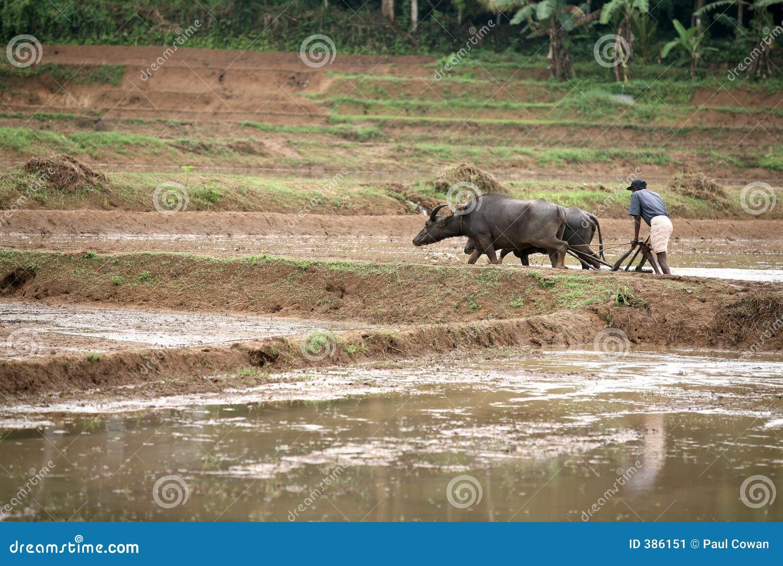 Labourage d un paddyfield
