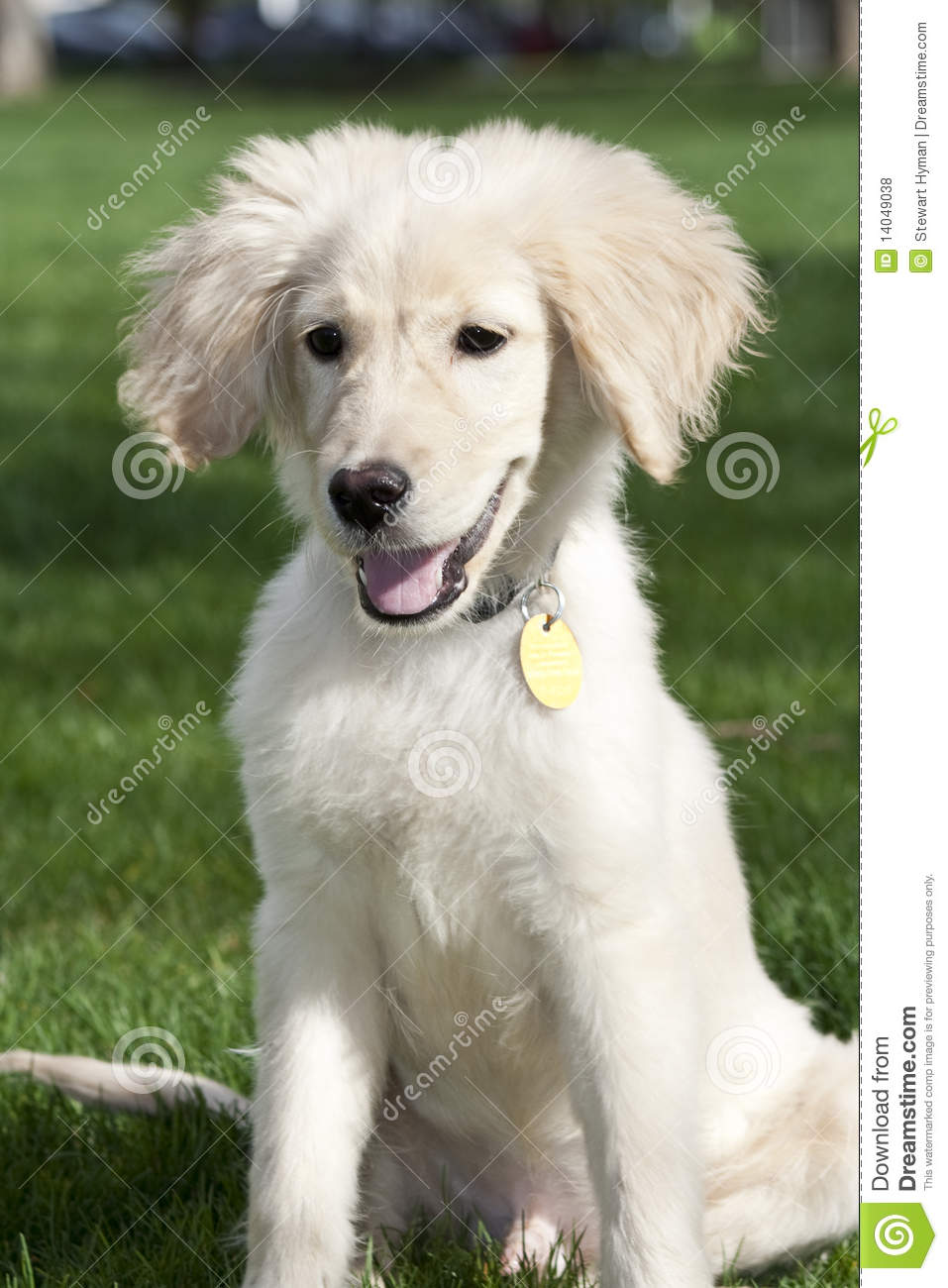 Labradoodle Stock Photo Image Of Yellow Field Friend