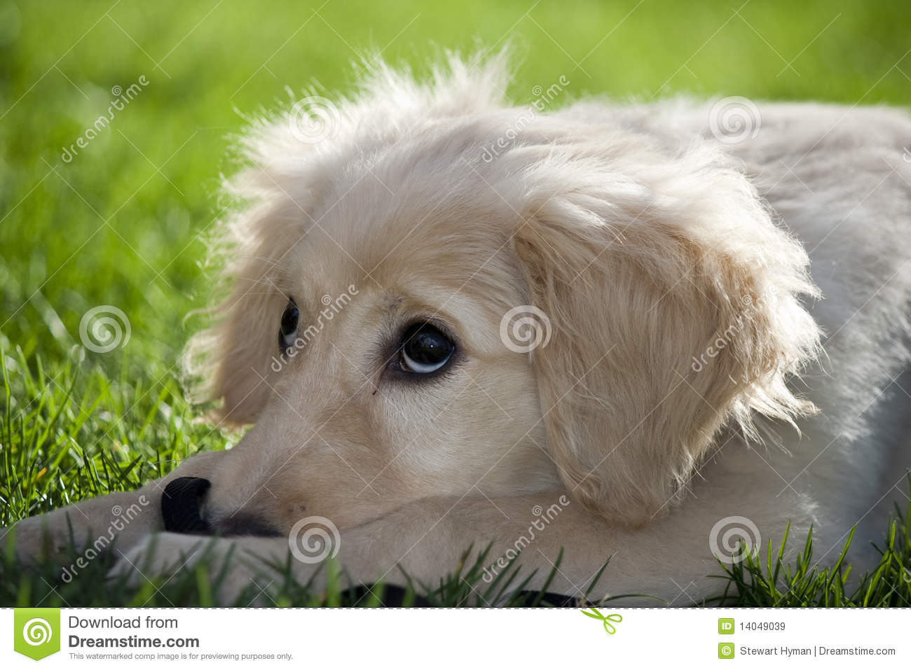 Labradoodle Stock Image Image Of White Yellow Standard