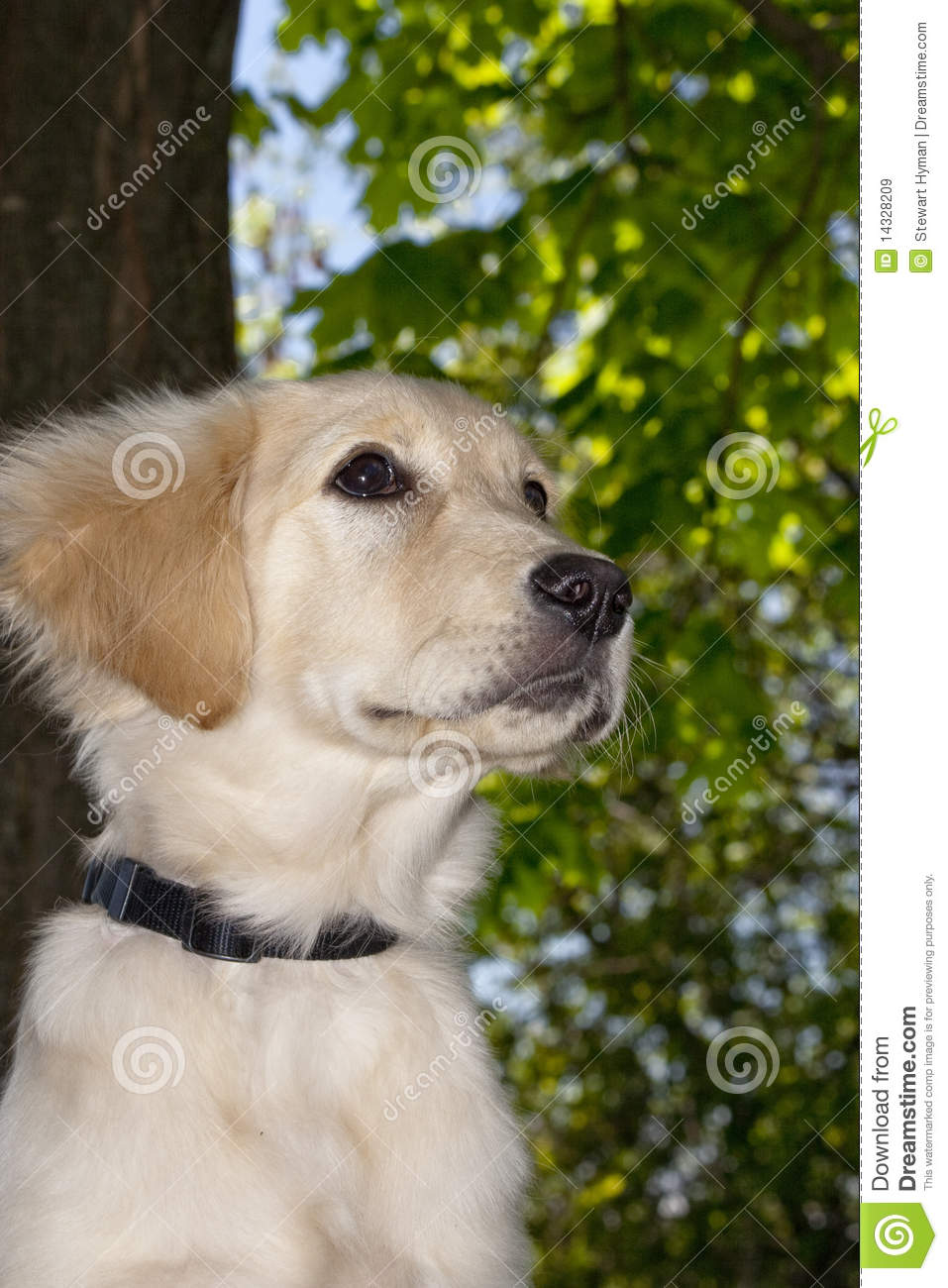 Labradoodle Stock Image Image Of Training Laying Mutt
