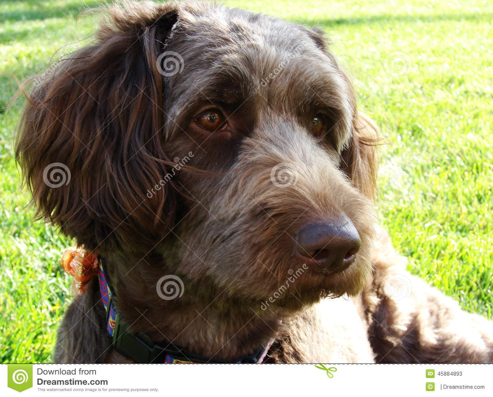 Labradoodle-Hund