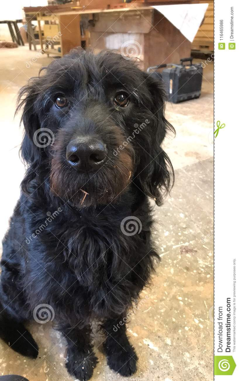 Labradoodle stock photo  Image of black, smile, curious