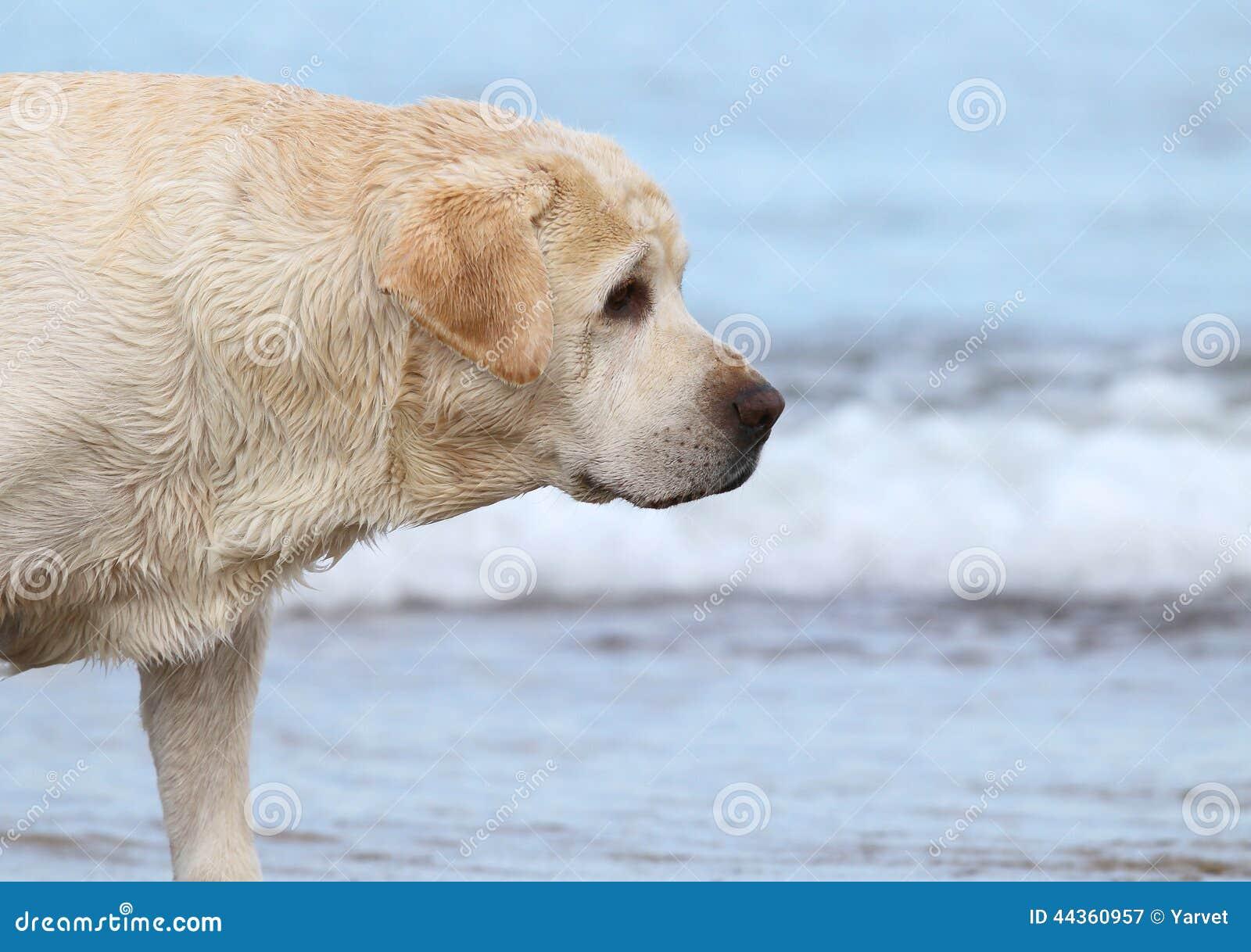 Labrador alla fine del ritratto del mare