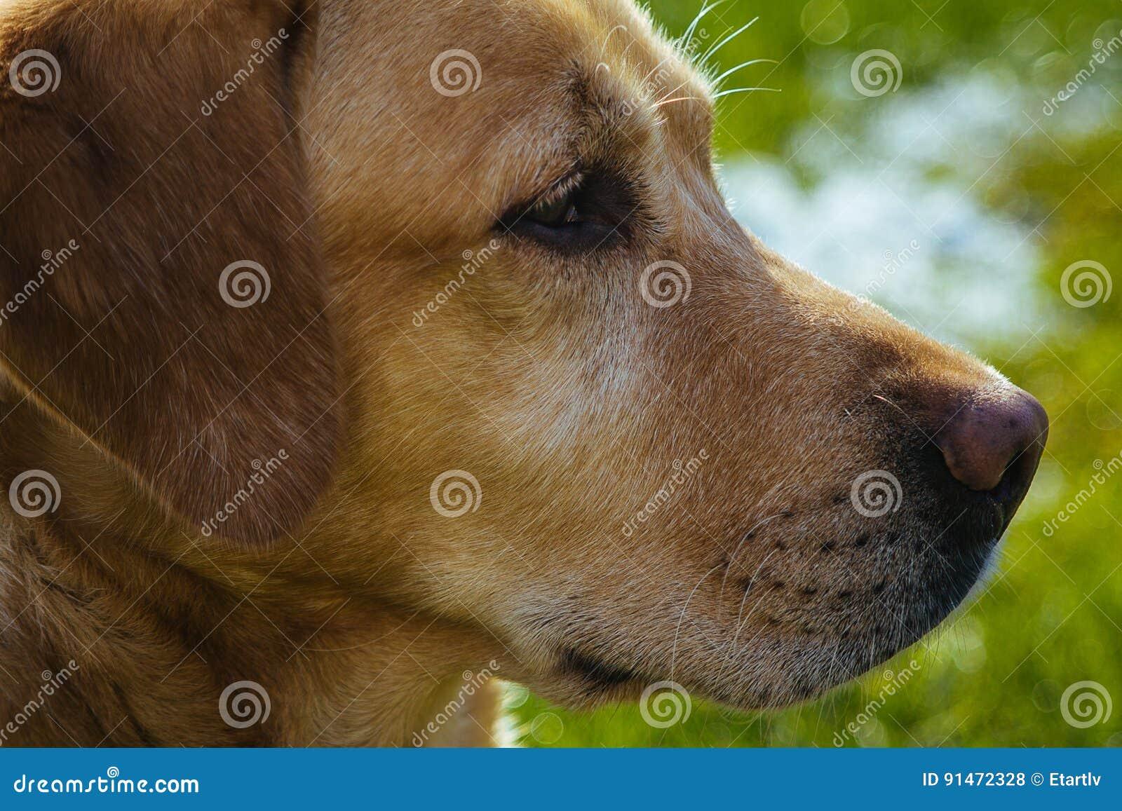Labrador amarillo