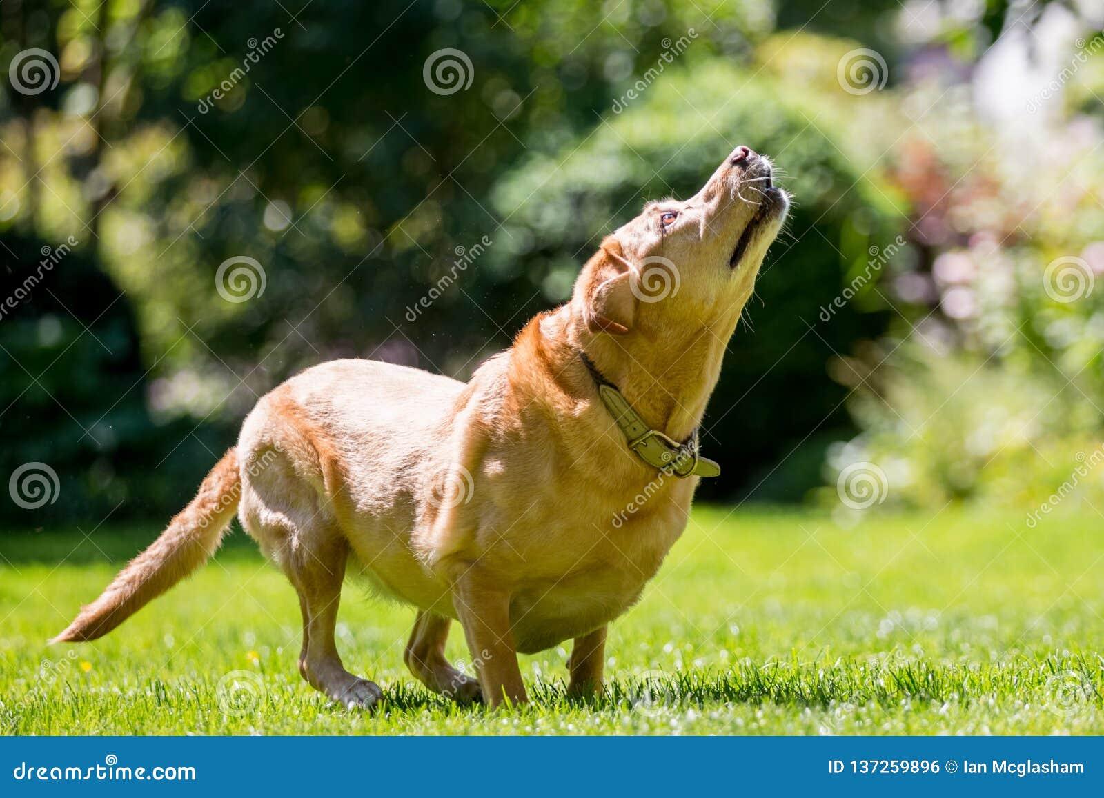 Labrador attendant pour attraper un bâton ou un festin de boule un jour ensoleillé