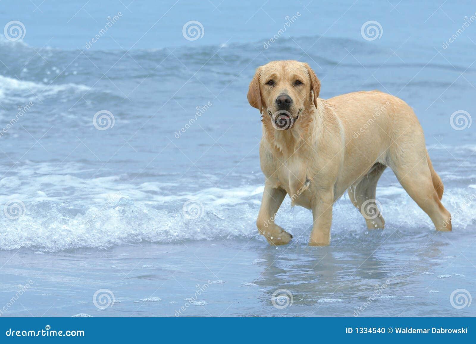 Labrador auf dem Strand