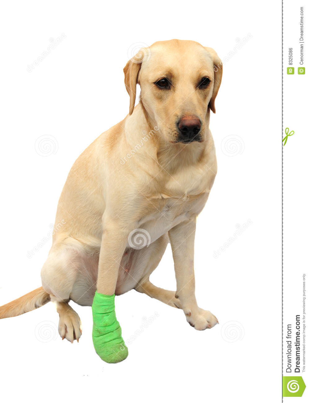 Labrador With Bandaged Foot Royalty Free Stock Image - Image: 8325086