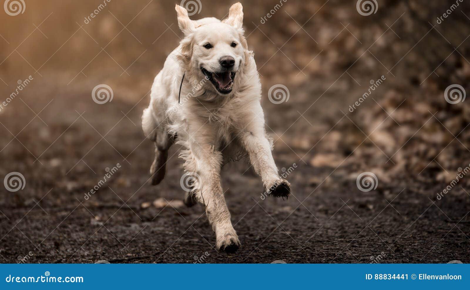 Labrador blanc