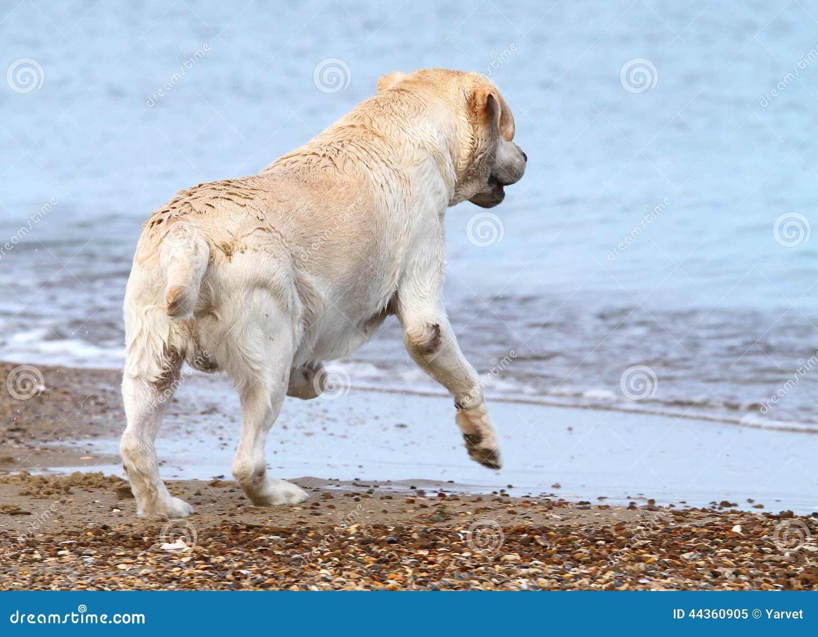 Labrador che corre al mare