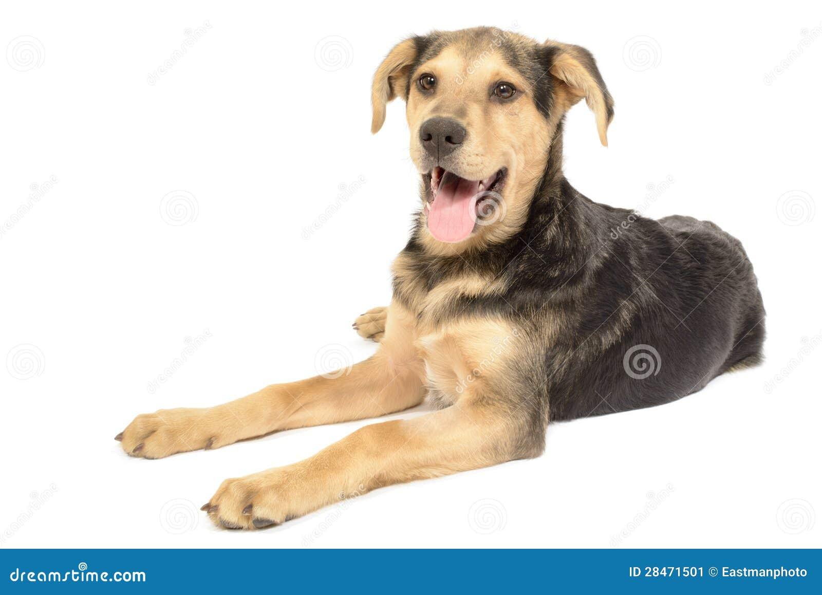 Lab Dachshund Mix Puppy Labrador dachshund puppy mix